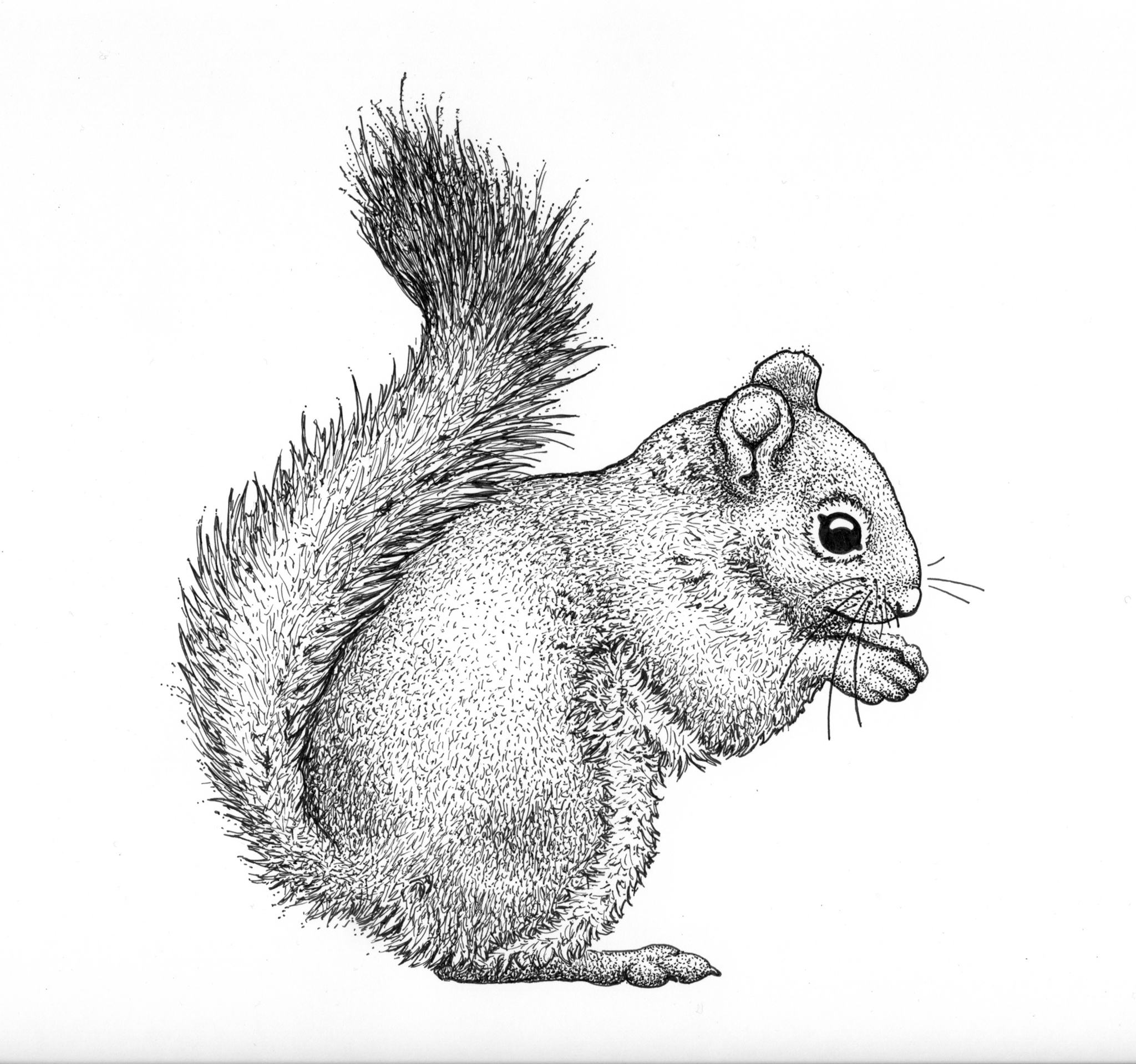 Red squirrel drawing, squirrel illustration, mammal drawing, scientific drawing