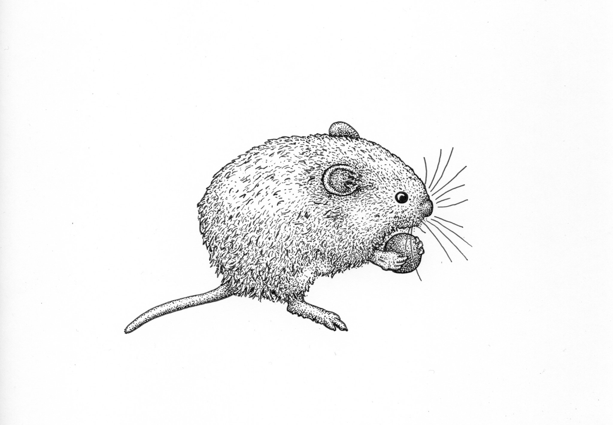 Red-backed vole drawing, rodent drawing, Alaskan vole