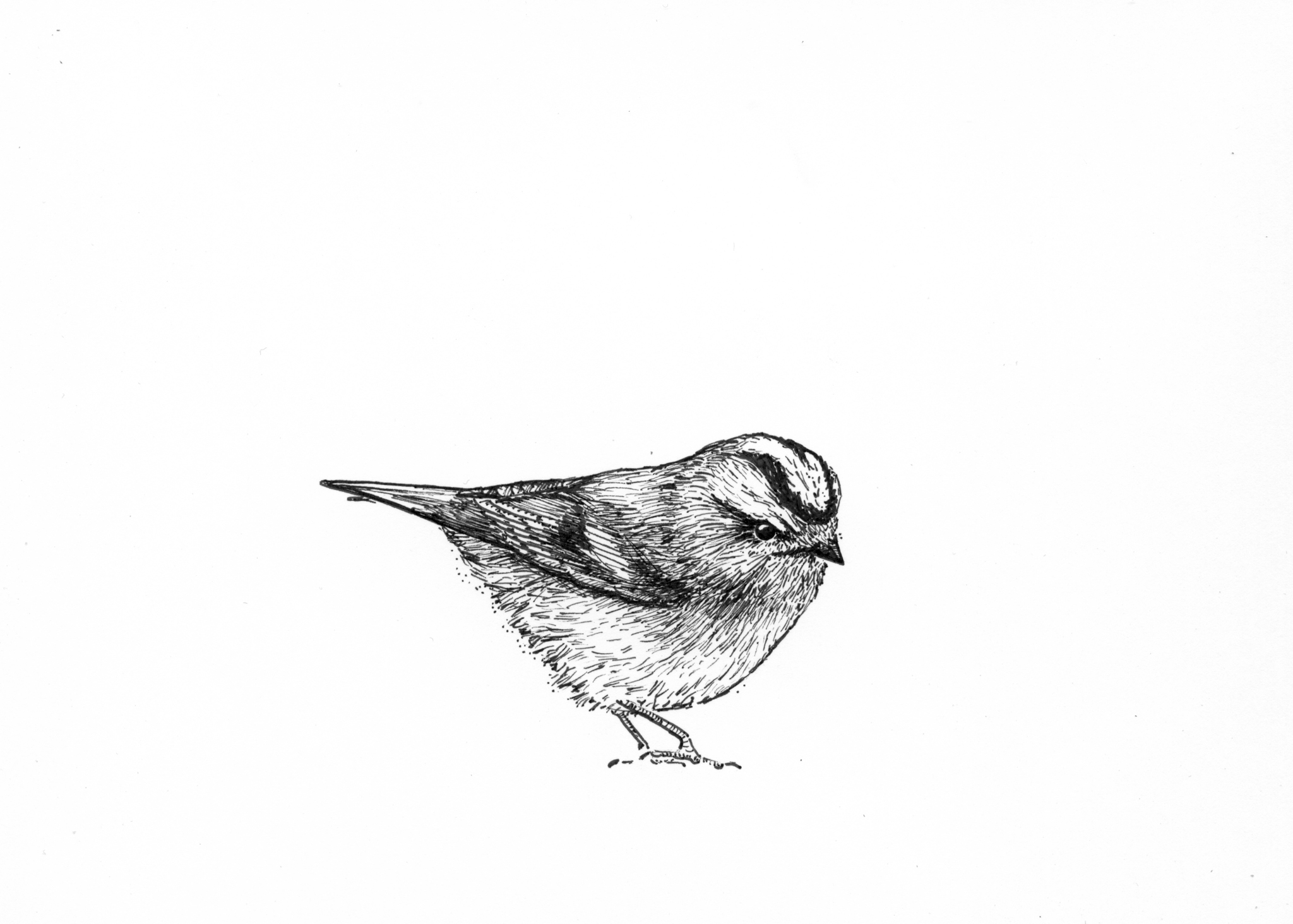 Golden-crowned kinglet drawing