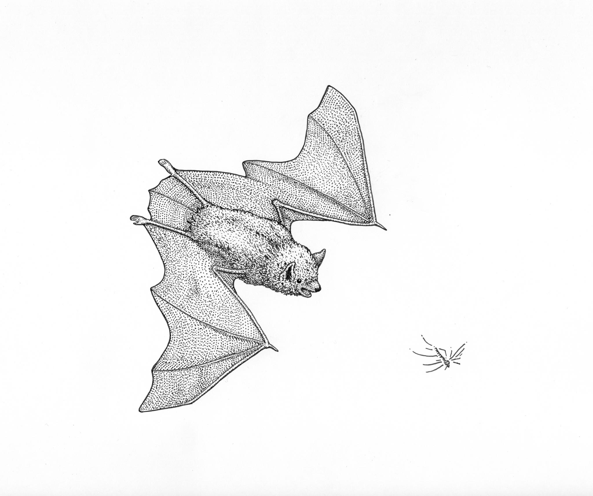 Little brown bat drawing, bat illustration, Alaskan bat