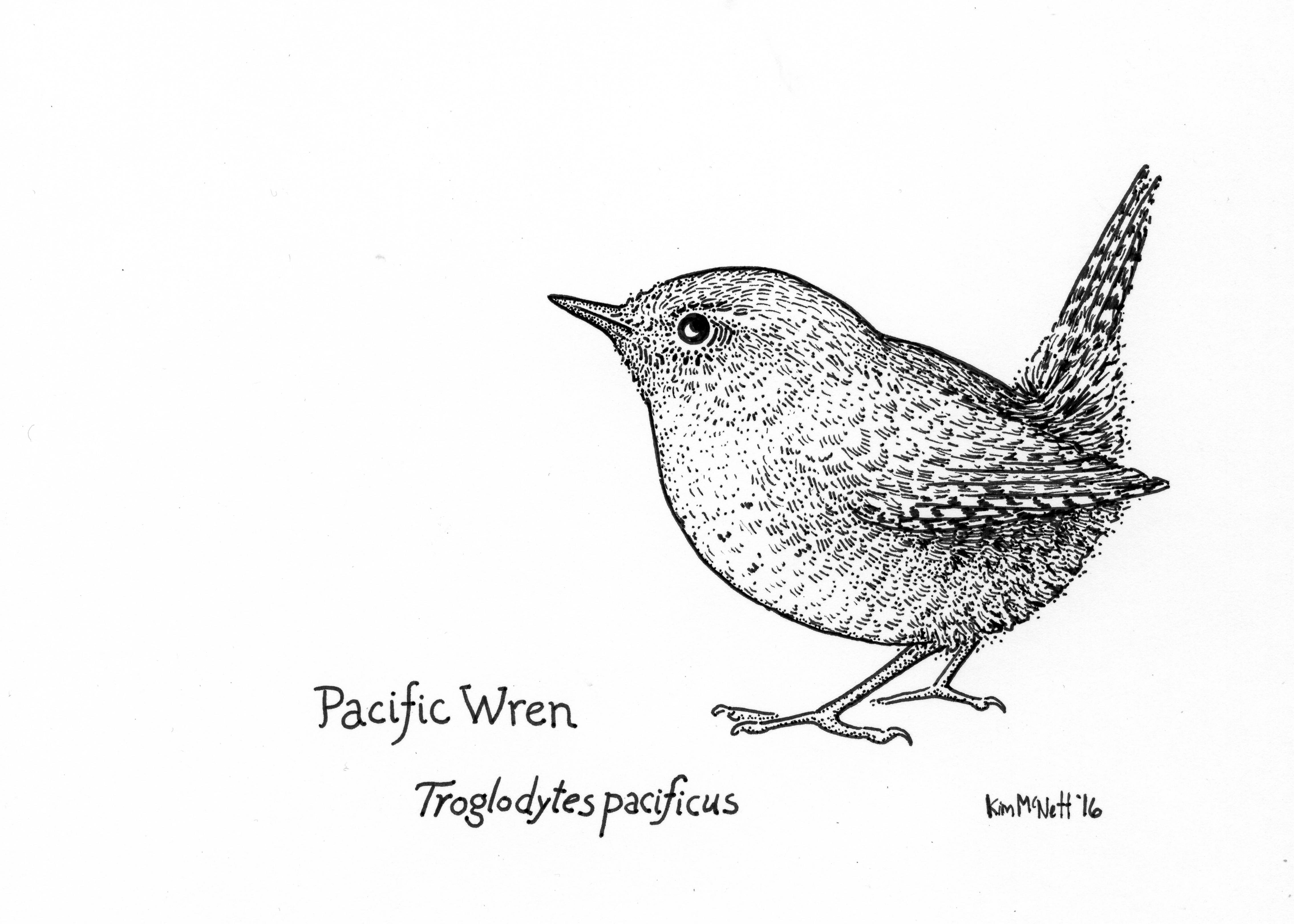 Pacific wren drawing, winter wren drawing