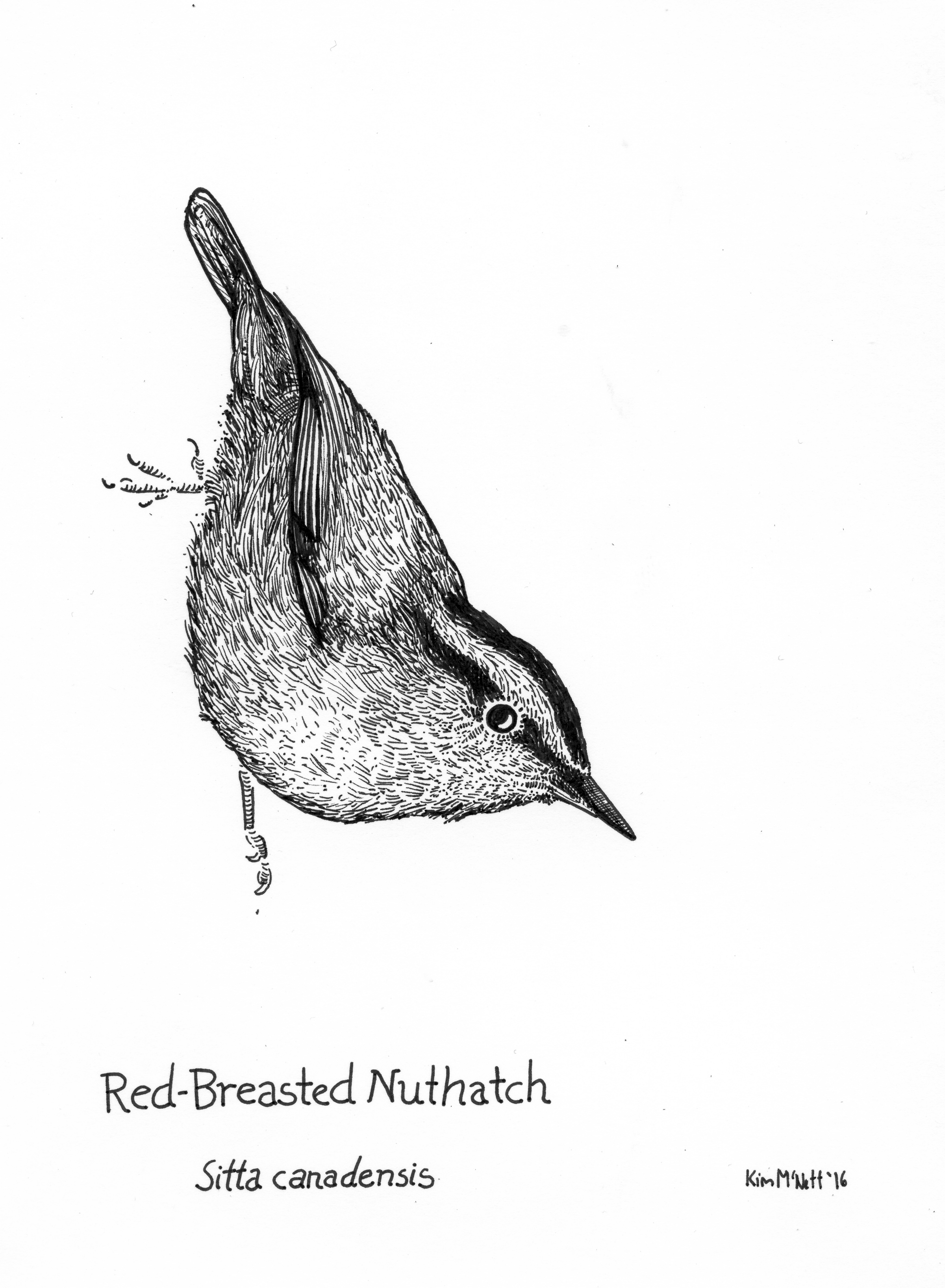 Red-breasted nuthatch drawing