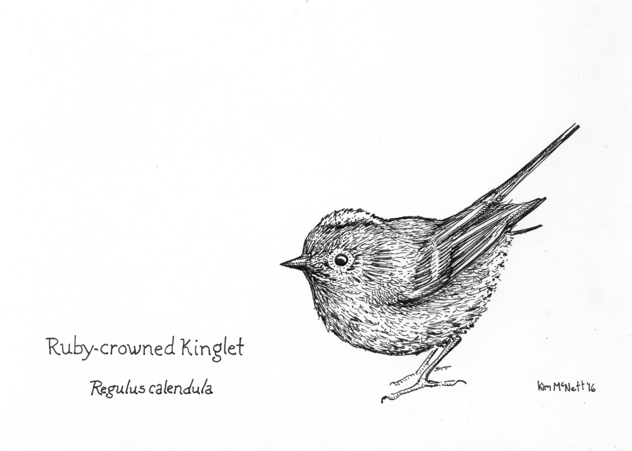 Ruby-crowned kinglet drawing, kinglet, ruby crowned kinglet