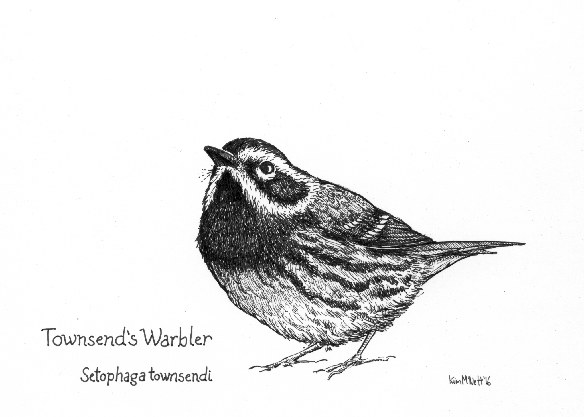 Townsend's Warbler drawing, warbler drawing, illustration, bird drawing
