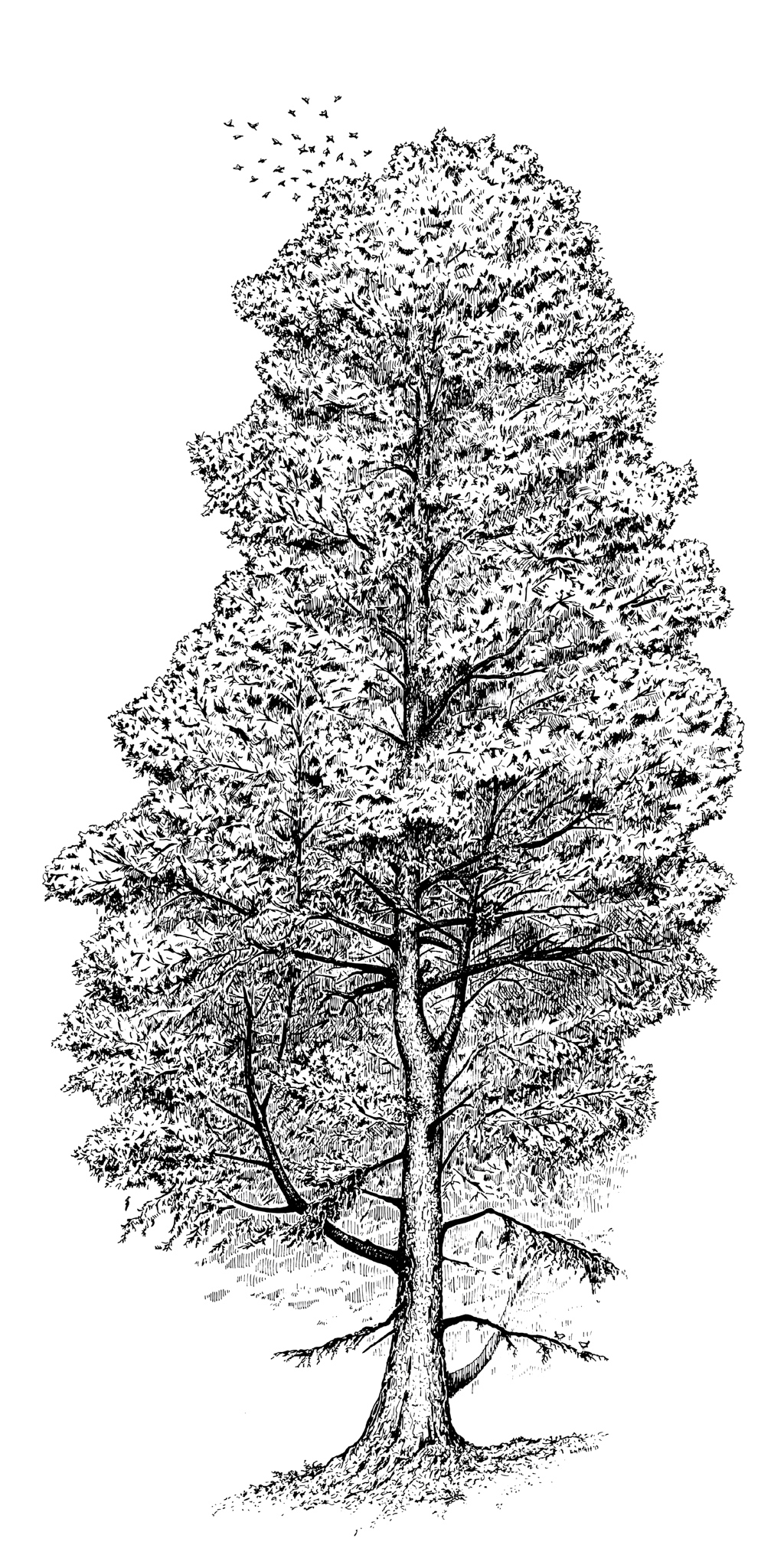 Grandmother Tree Sitka Spruce Picea sitchensis drawing