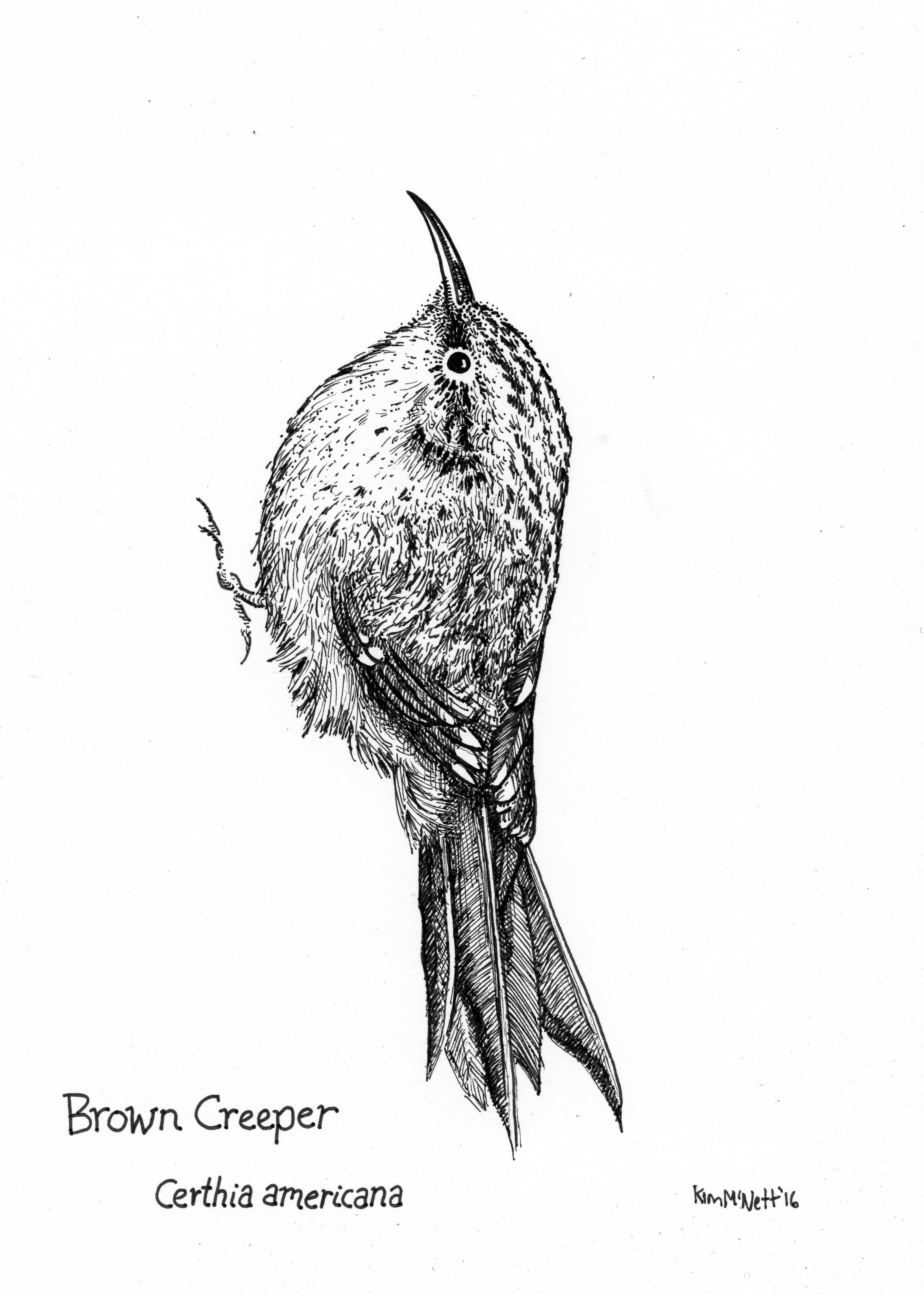 Brown creeper drawing, creep illustration, Alaskan creeper, creeper bird
