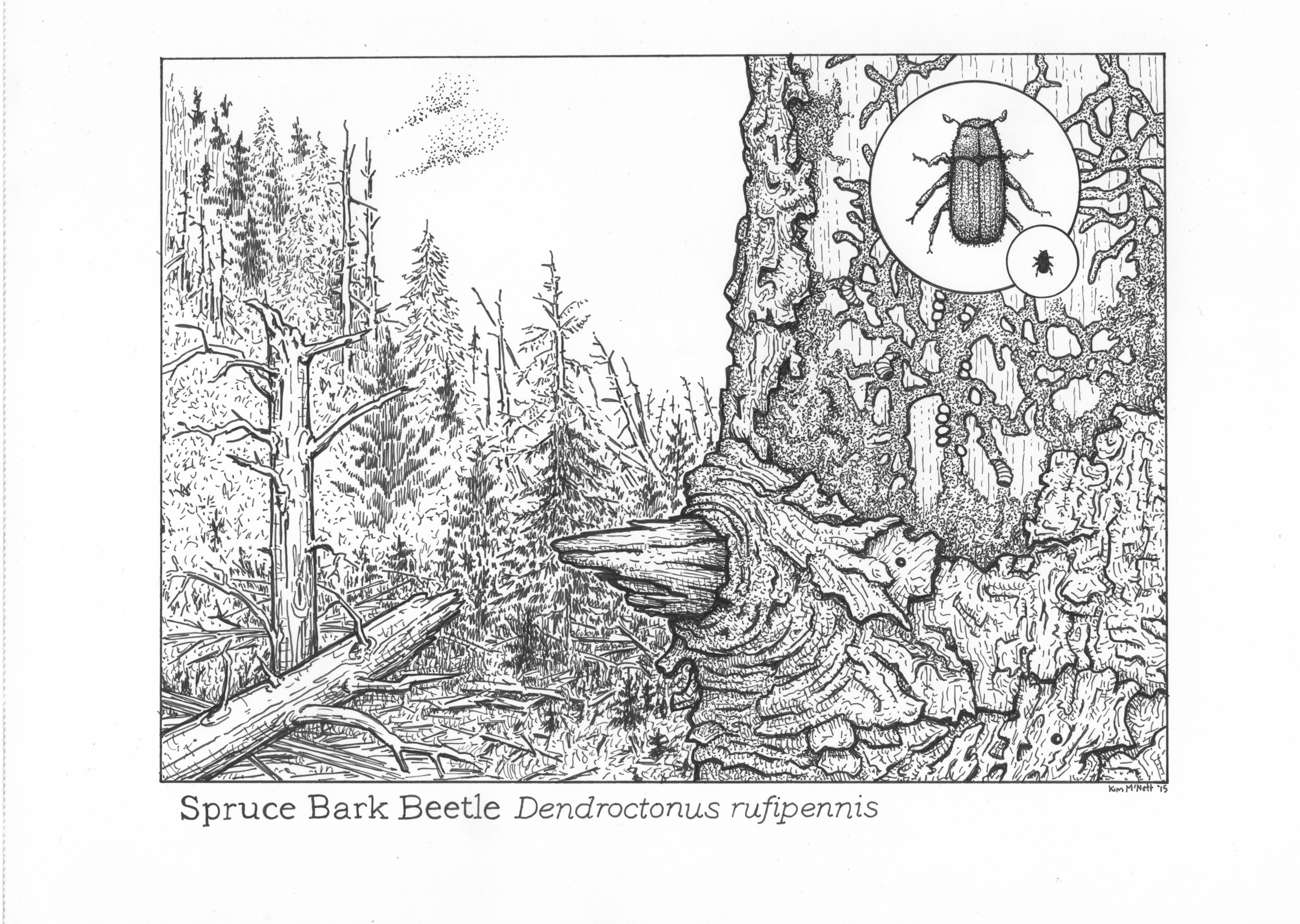 Spruce Bark Beetle, Dendroctonus rufipennis drawing, spruce bark beetle drawing, bark beetle illustration, bark beetle, climate change, Kenai, Alaska, beetle outbreak