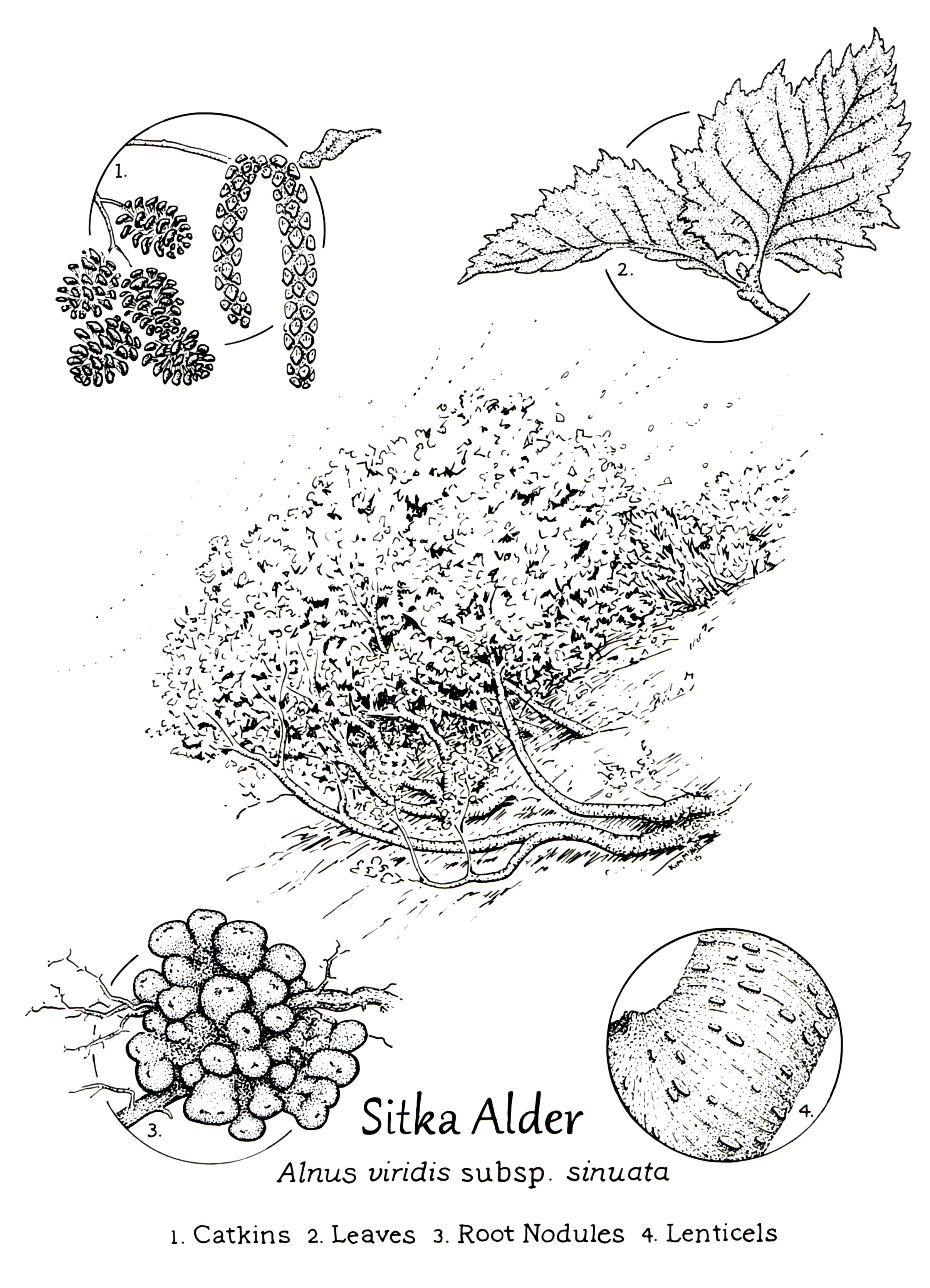 Sitka Alder, Alnus viridis drawing, alder drawing, root nodules, nitrogen-fixer, nitrogen fixing, Alnus drawing, alder illustration