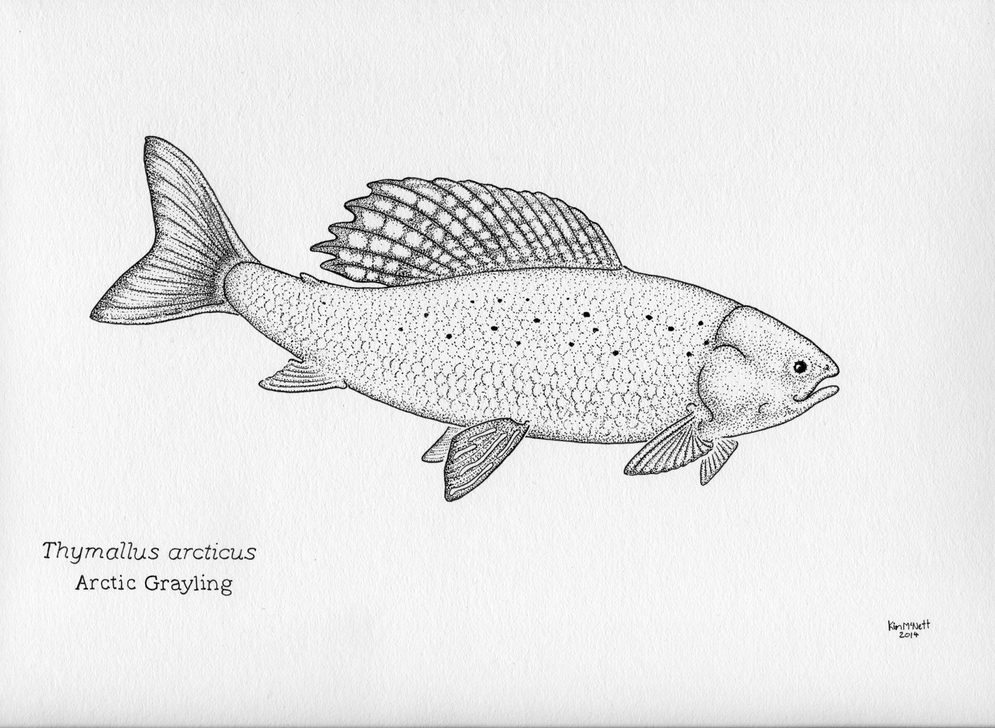 Arctic Grayling, Thymallus arcticus drawing, grayling drawing, Alaska, fishing