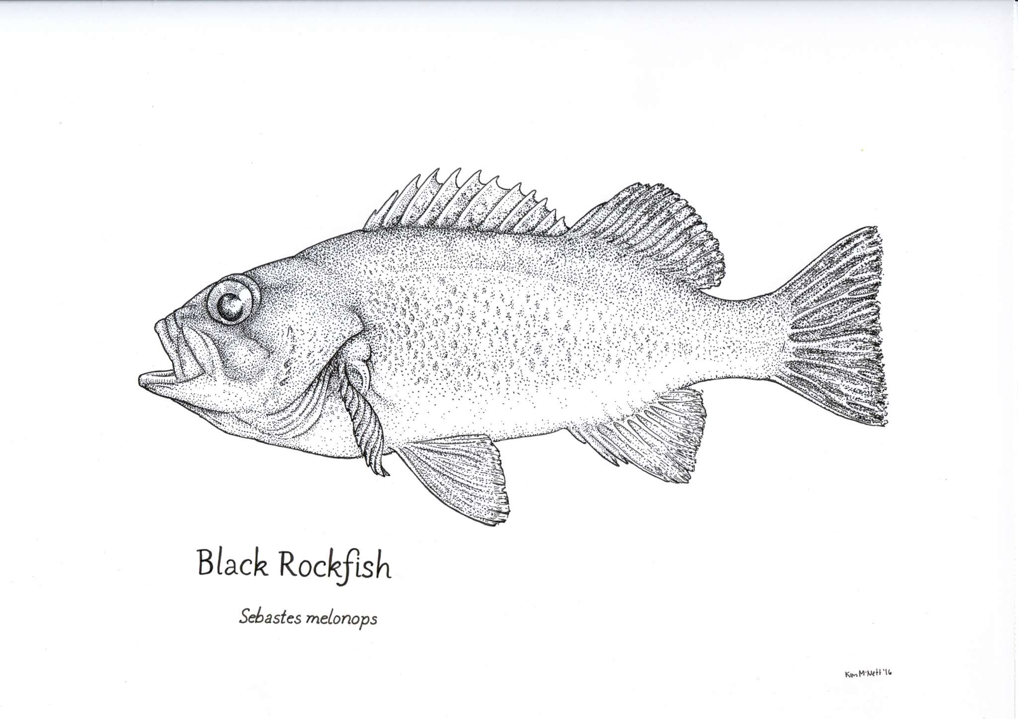 Black Rockfish, Sebastes melanops drawing, rockfish drawing, rockfish, Alaska, Alaskan, fishing,