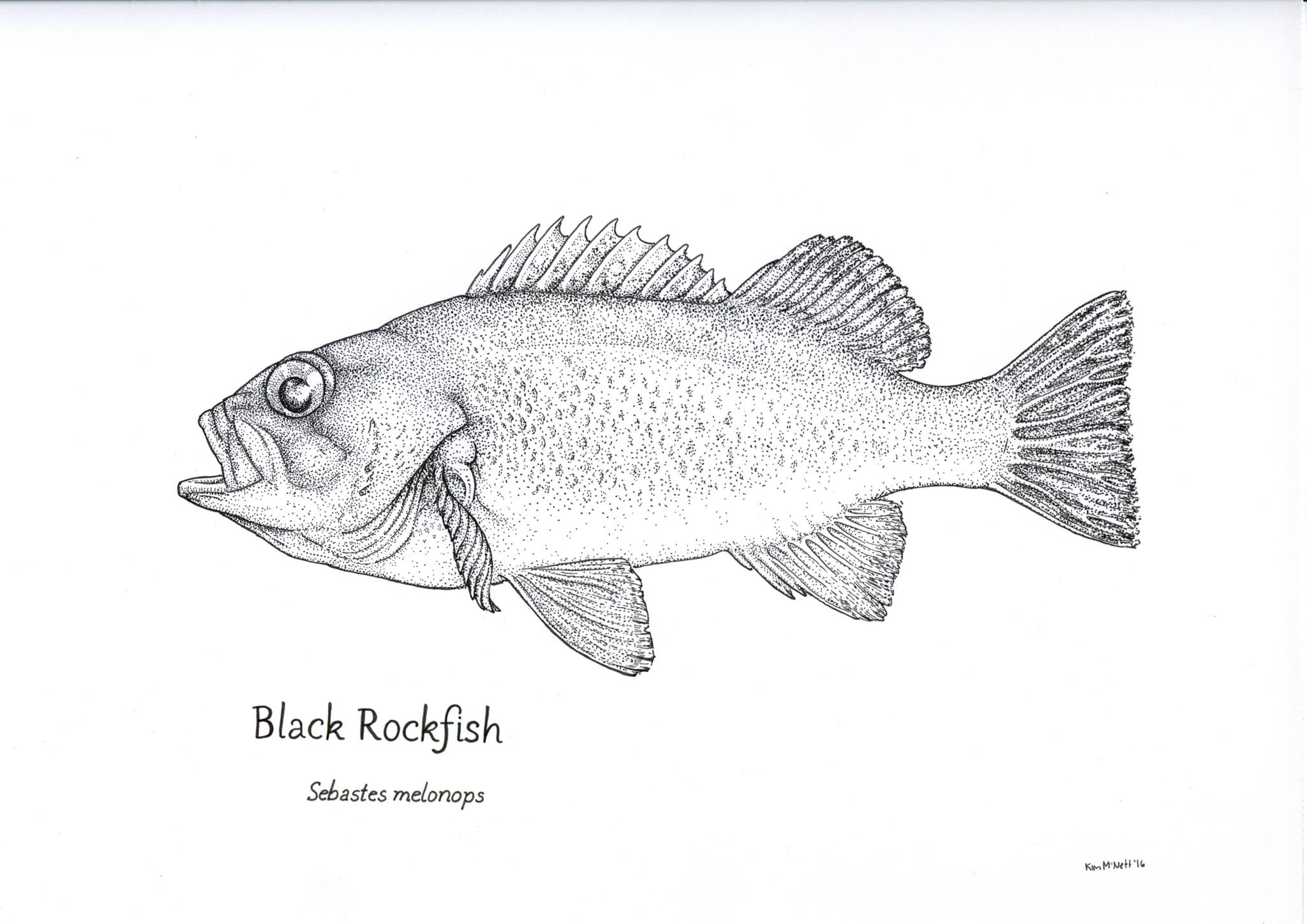 Black Rockfish Sebastes melanops drawing