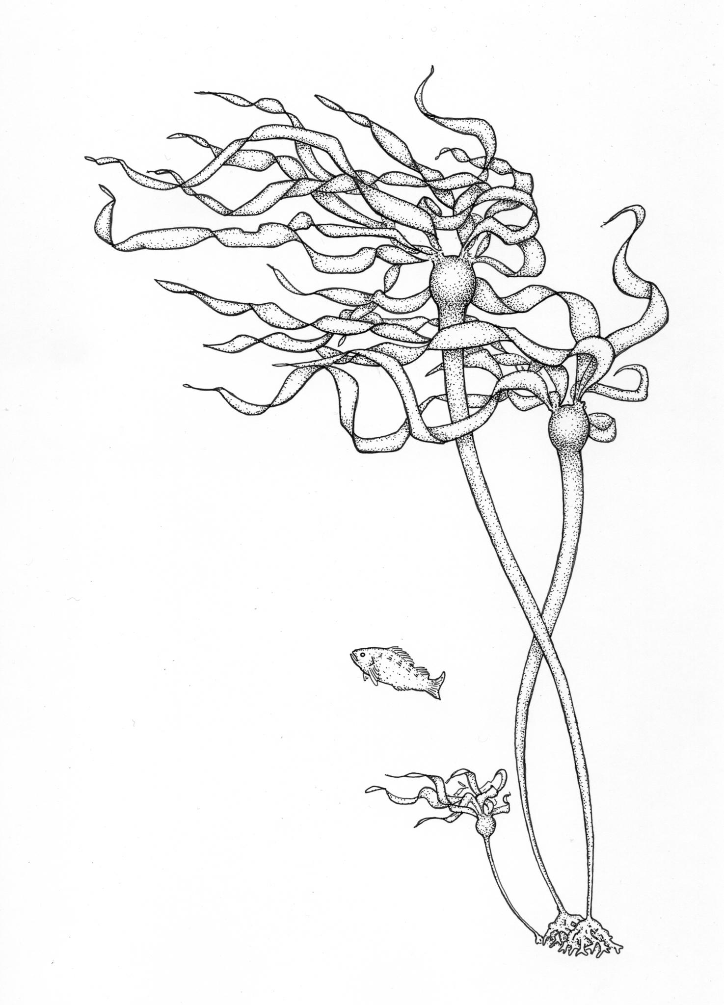 Bull Kelp Nereocystis luetkeana drawing
