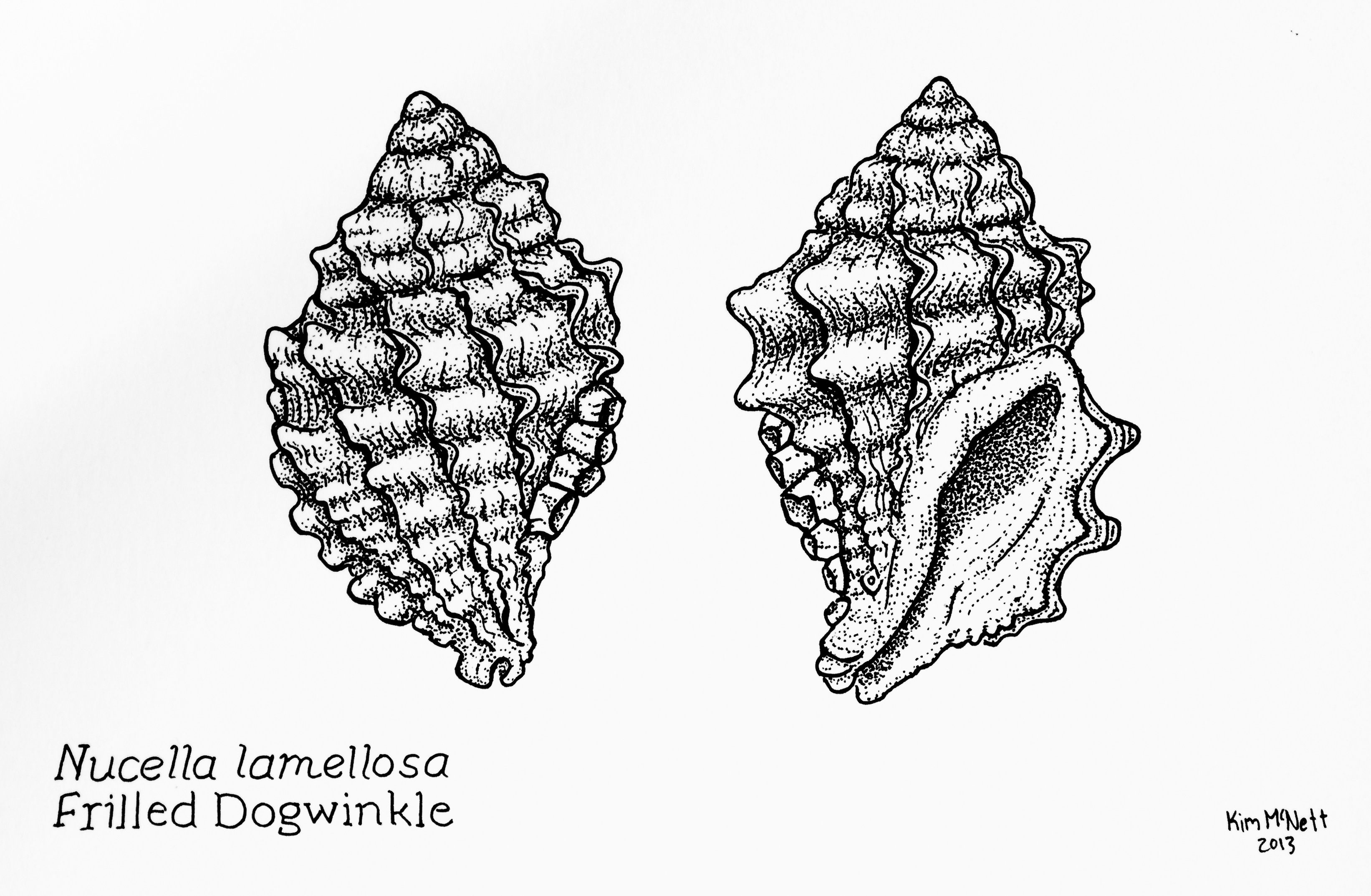 Frilled Dogwinkle, Nucella lamellosa drawing, dogwinkle drawing, marine snail drawing, seashell, seashell drawing