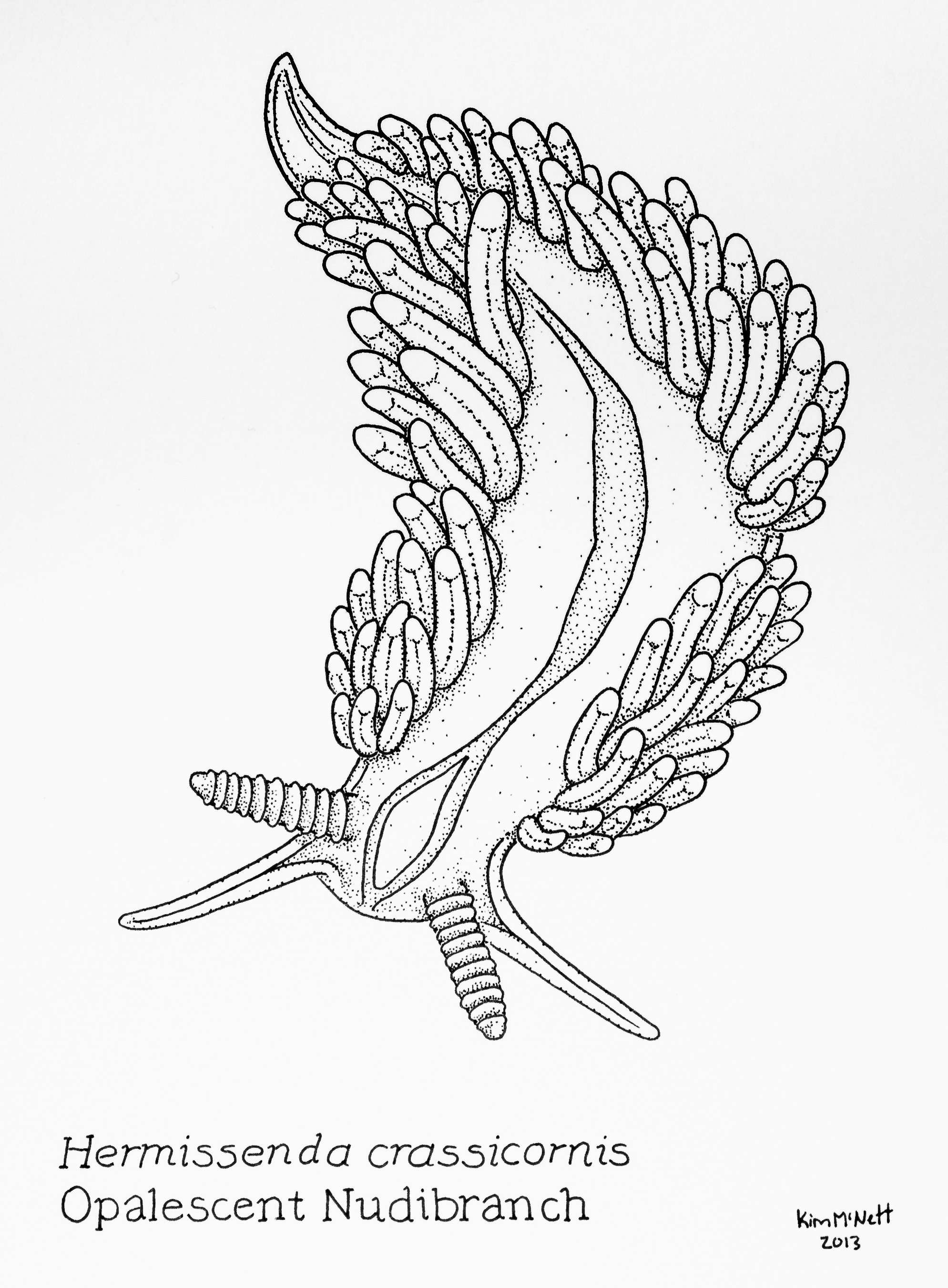 Opalescent Nudibranch, Hermissenda crassicornis drawing, nudibranch, seaslug, sea slug, mollusk, gastropoda, gastropod, hermissenda, illustration, drawing