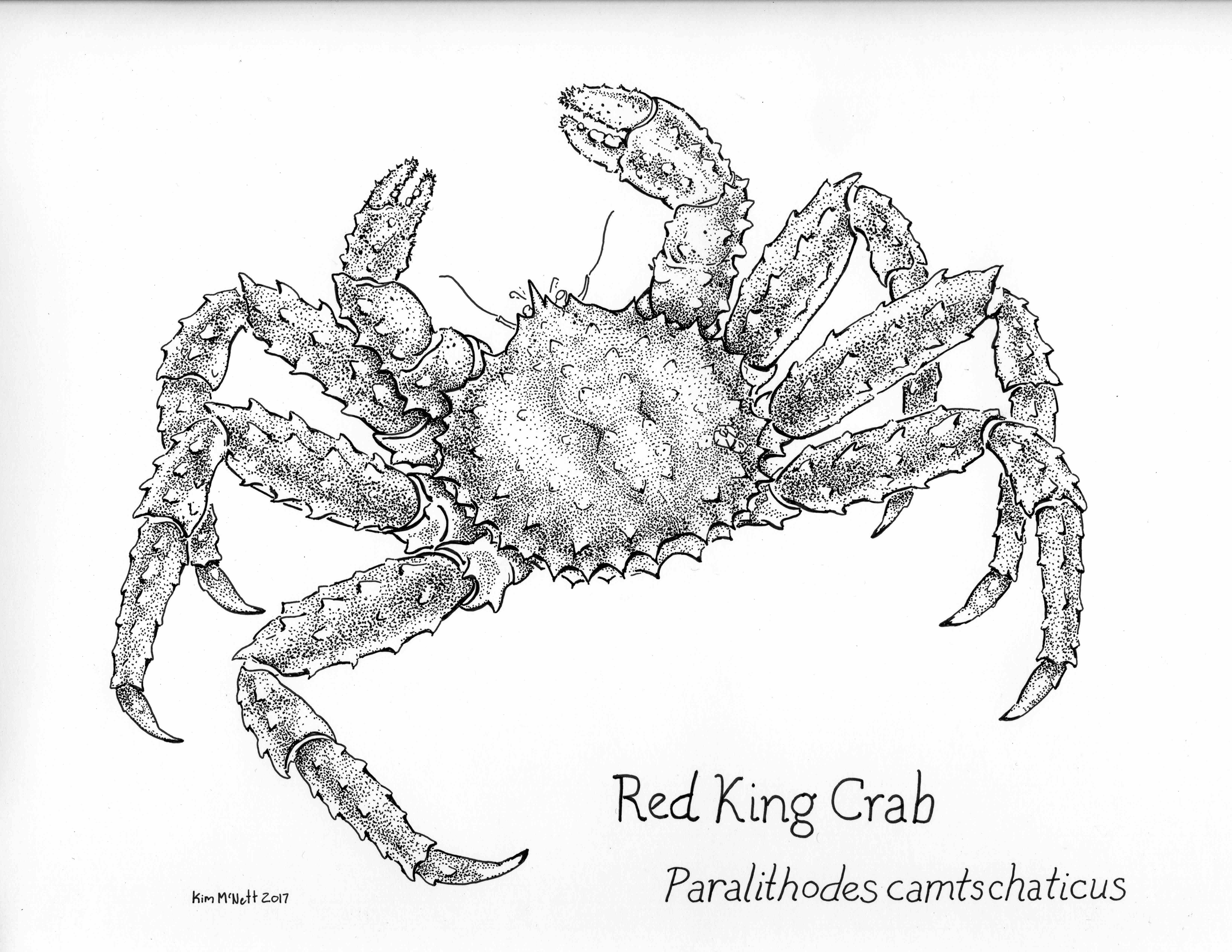 king crab, Red King Crab, Paralithodes camtschaticus, drawing, red king crab, Paralithodes, lithodid, crab, Bering Sea, Aleutian Islands, arthropod, decapod, illustration, scientific