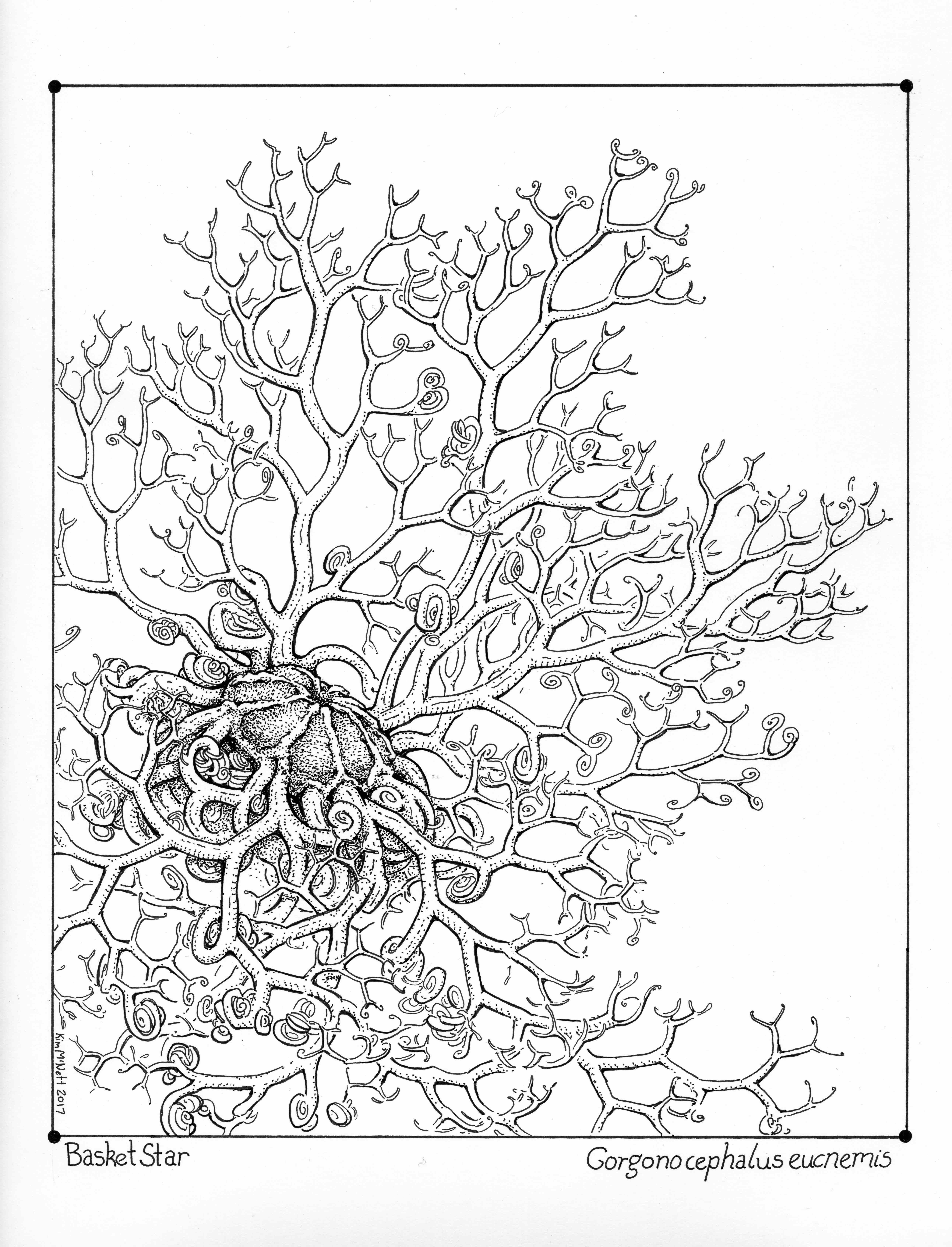 Basket Star Gorgonocephalus eucnemis drawing