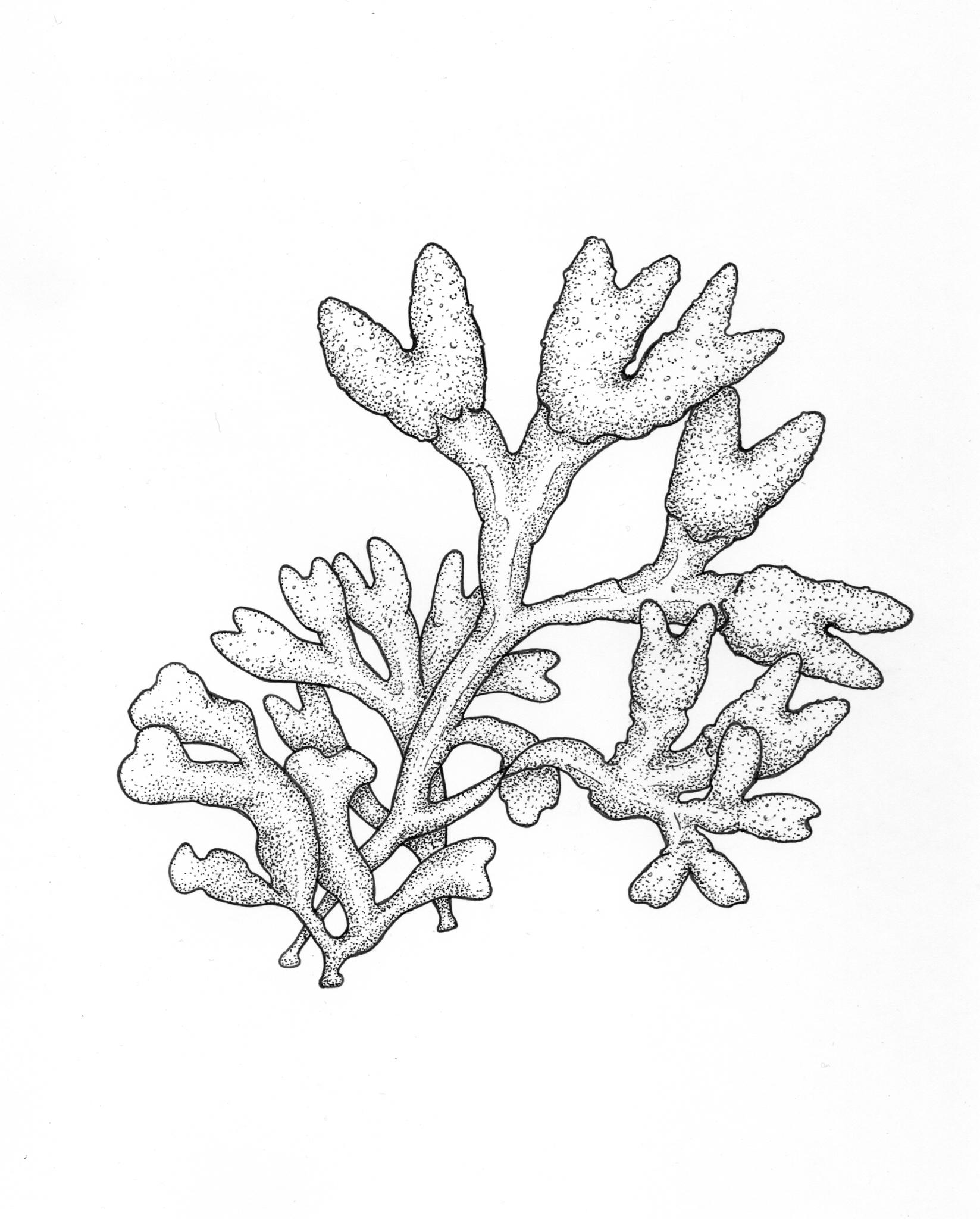 Popweed Rockweed Fucus drawing