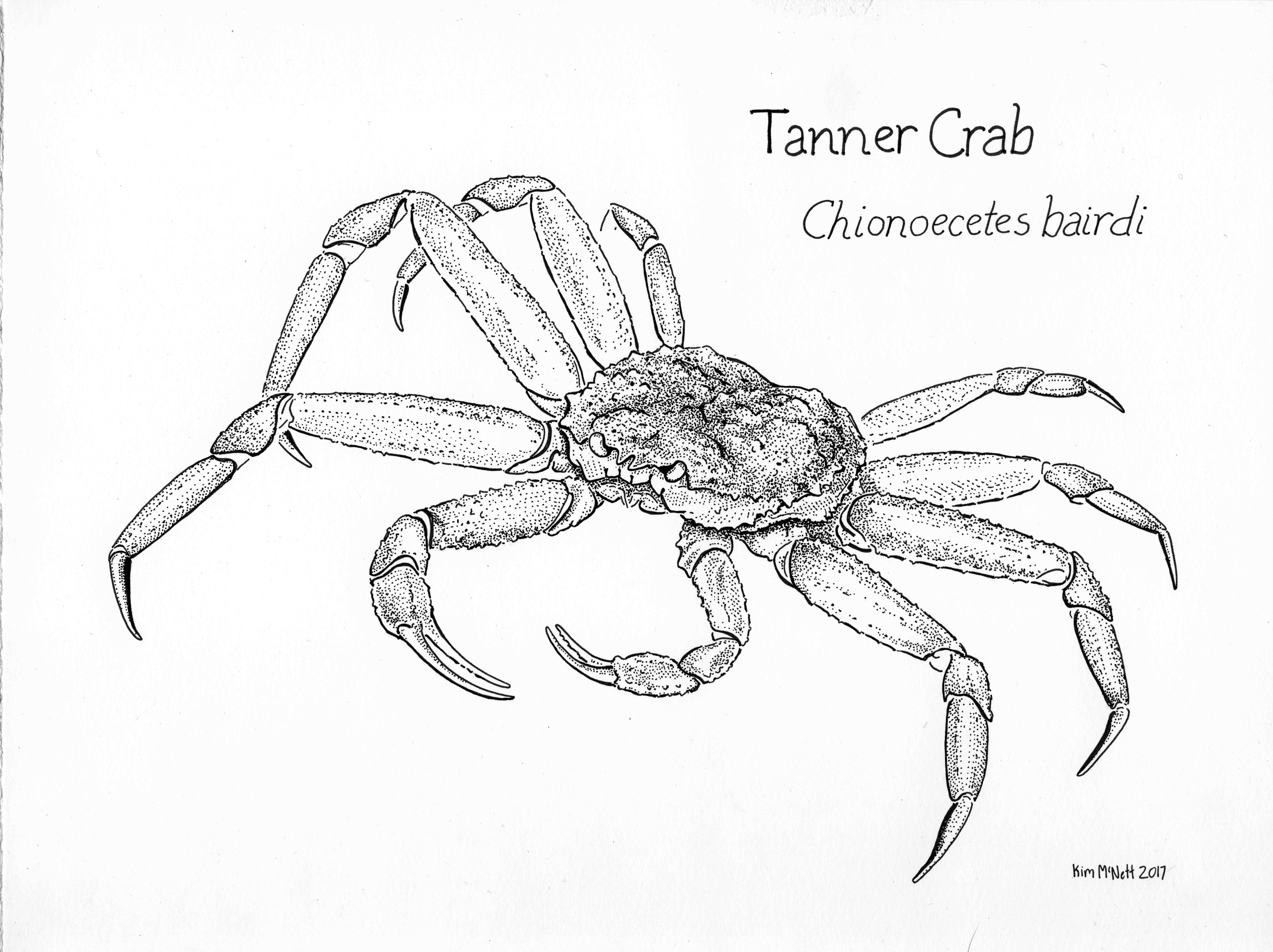 Tanner Crab Cionoecetes bairdi drawing