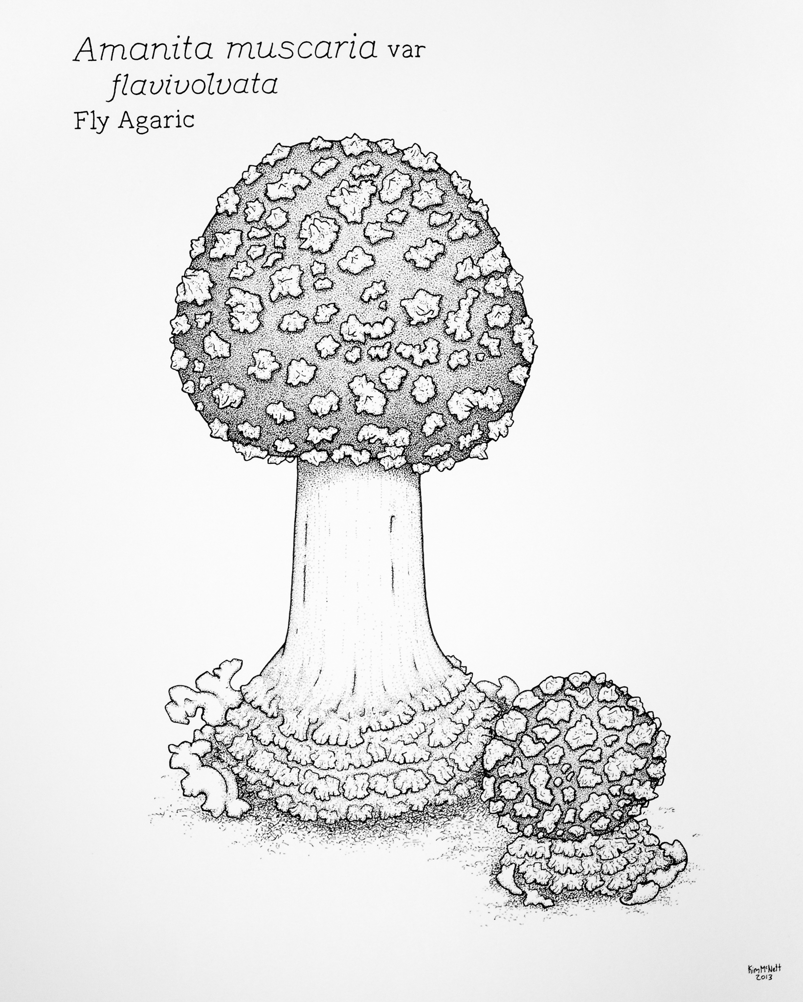 Fly Agaric Amanita muscaria drawing