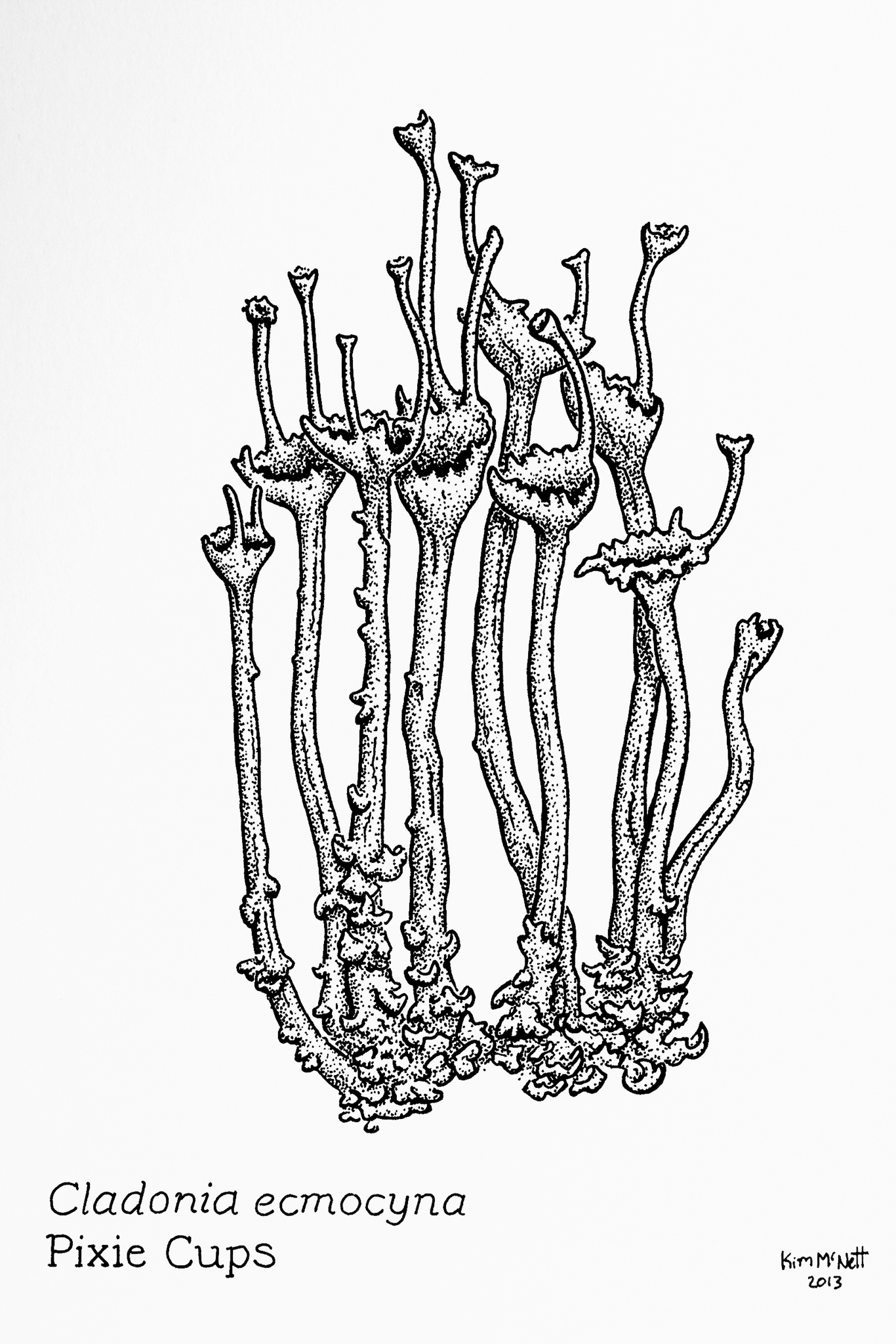 Pixie Cups Cladonia ecmocyna drawing