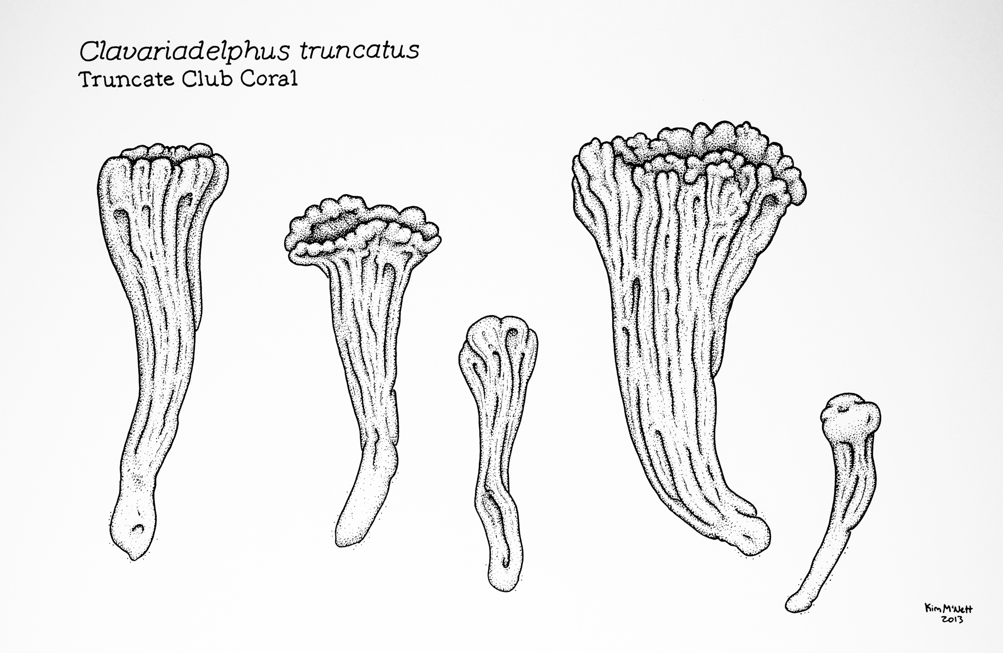 Truncate Club Coral Clavariadelphus truncatus drawing
