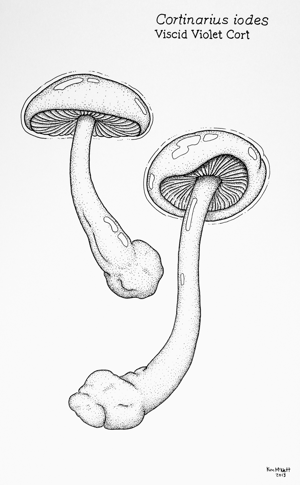 Cortinarius iodes drawing