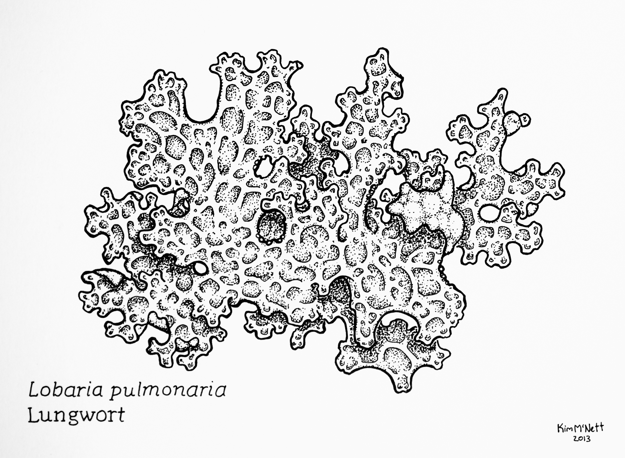 Lungwort Lobaria pulmonaria drawing