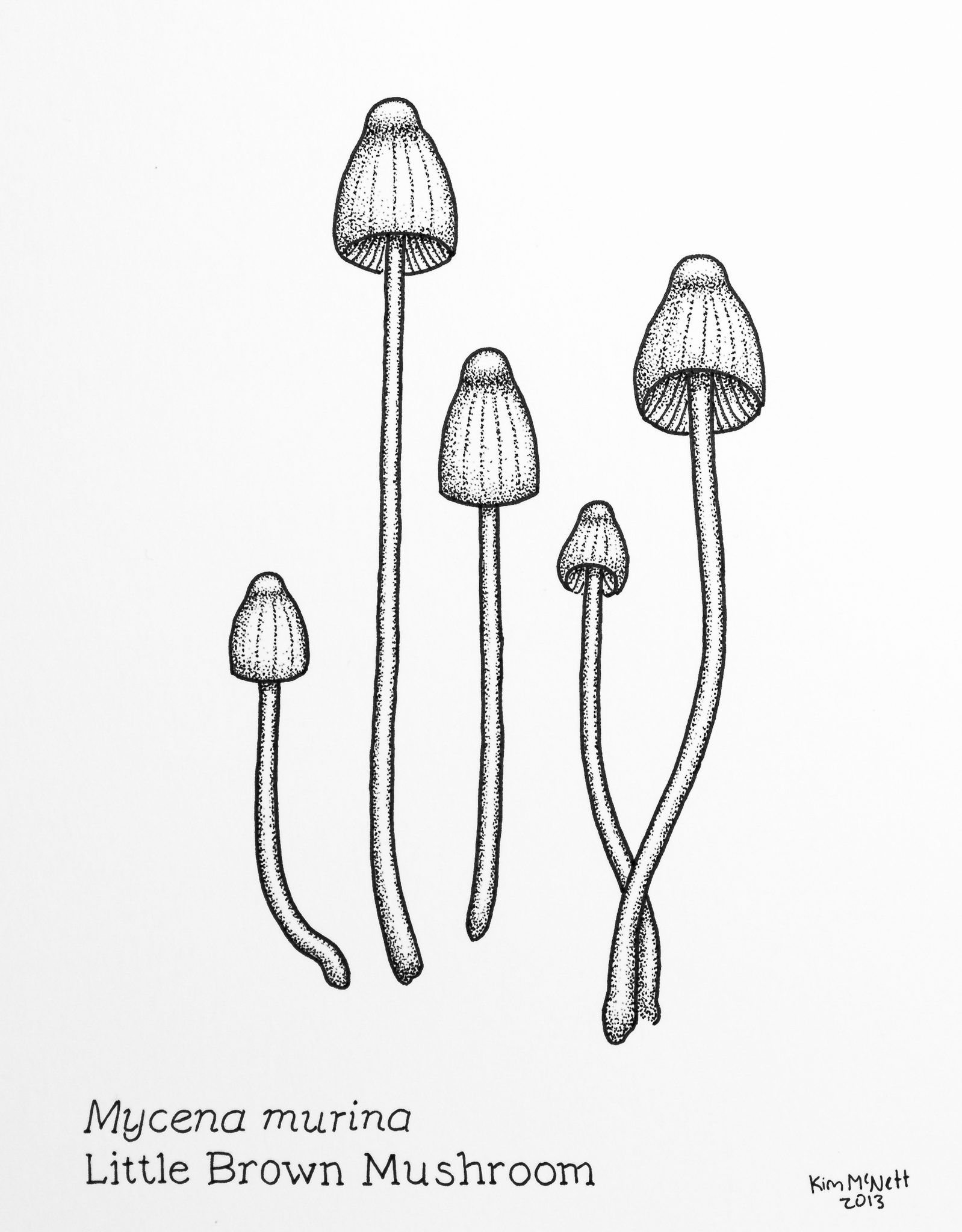 Mycena murina drawing