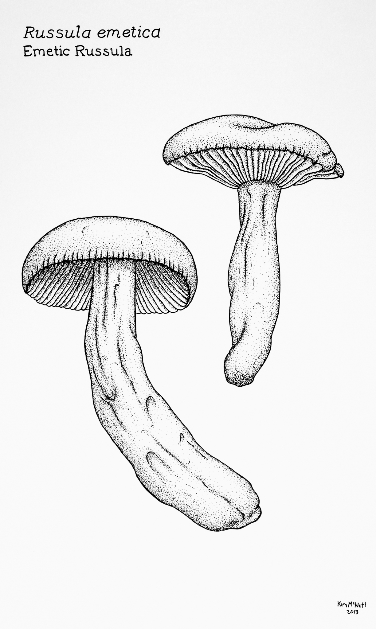 Russula emetica drawing
