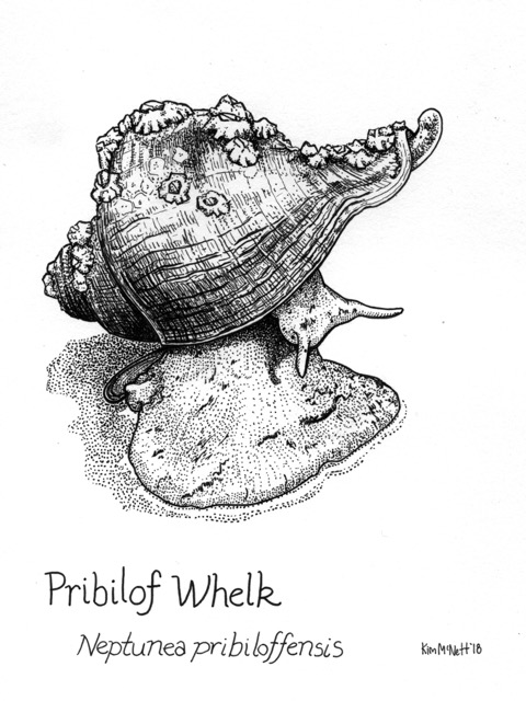 Pribilof Whelk, Kim McNett, Mollusc, scientific illustration, drawing, mollusk, whelk, snail, marine snail, Bering Sea, Aleutian Islands, Alaska, Alaskan, pen and ink, illustration