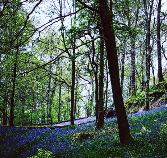 an Image of a woods filled with bluebells