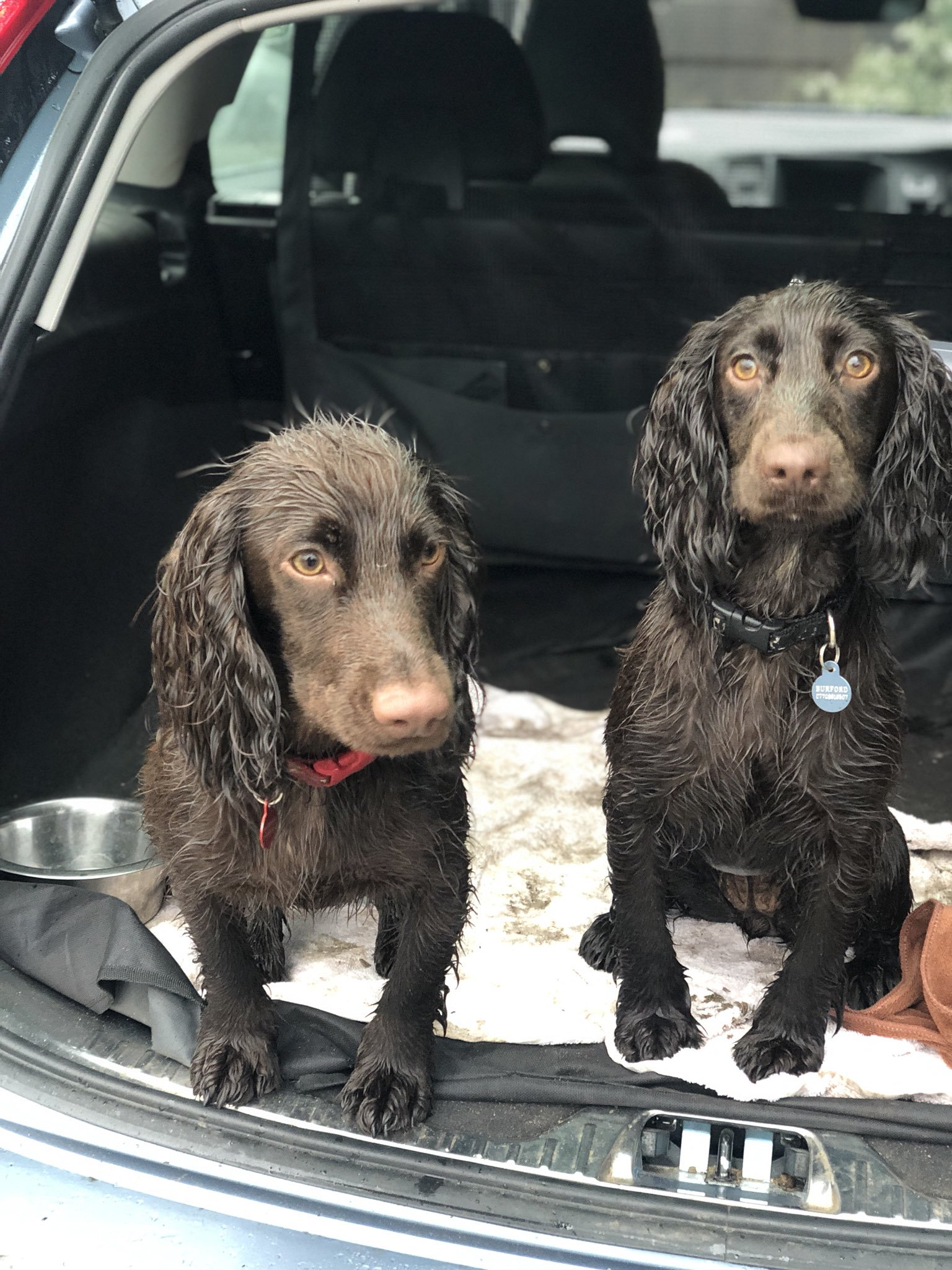 Two very cute springer spaniels in the back of a car