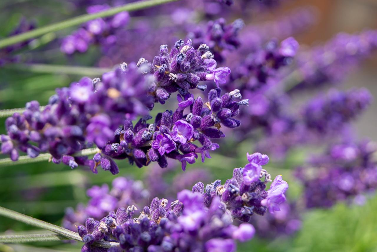 MUNDART Sirup, Lavendel vom Fuße des Mont Blanc