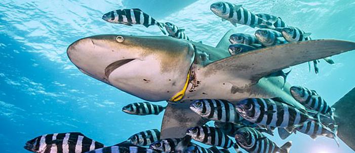 O plástico que enforcou um tubarão
