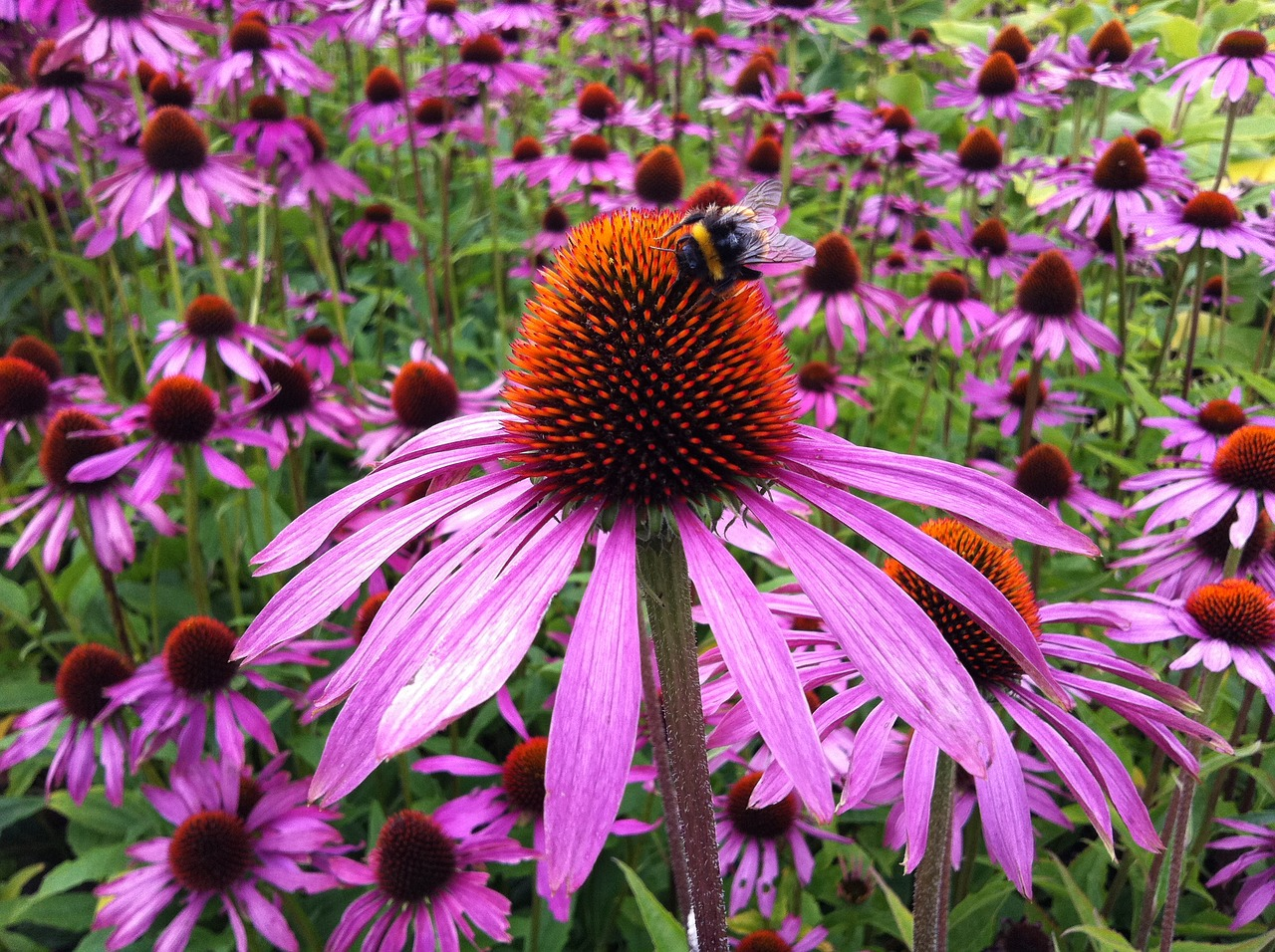 Echinacea Benefits: bee pollinating flower