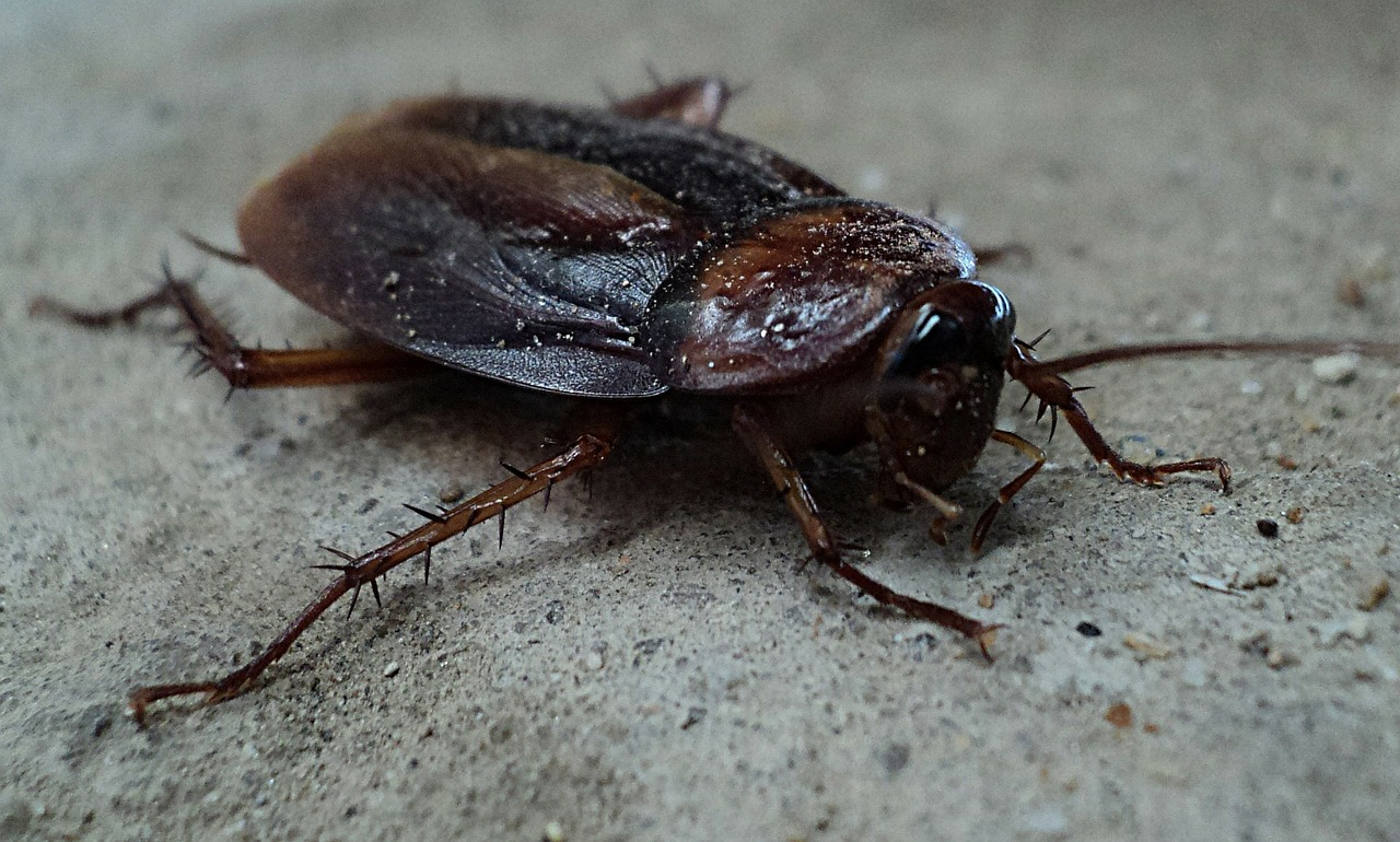 Home Remedies For Roaches: cockroach
