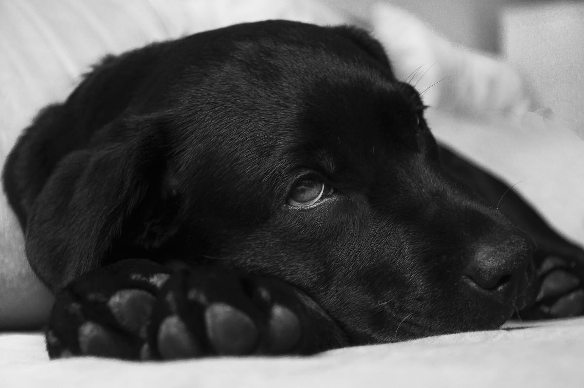 Stuffy Nose: labrador