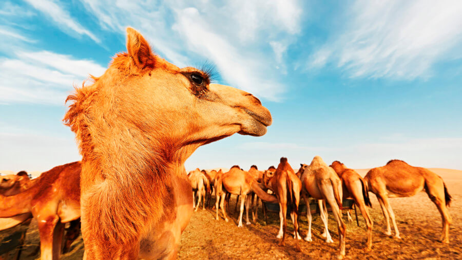 A camel in the desert of Ras Al Khaimah