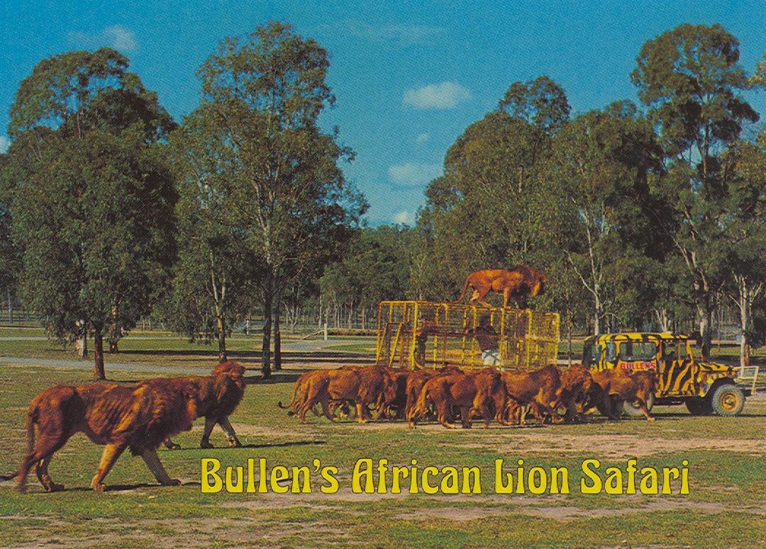 Lions roaming at Bullen's safari park near Yatala, Queensland