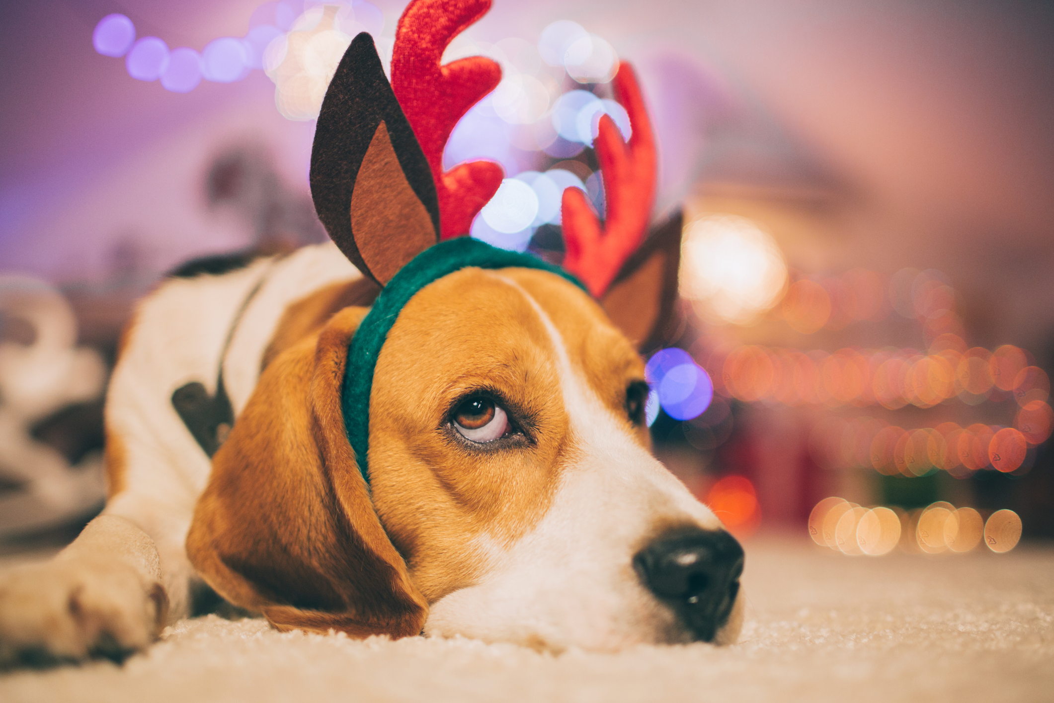 Tired dog at Christmas