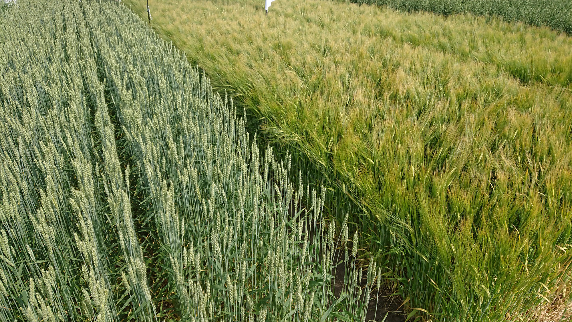 arable land with two different kinds of cereals