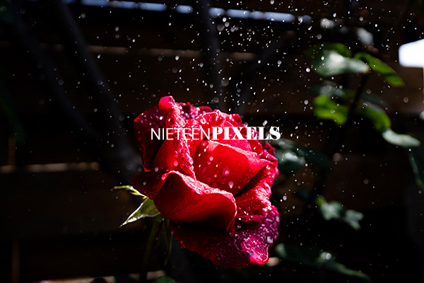 roses stock photo collections by nineteenpixels
