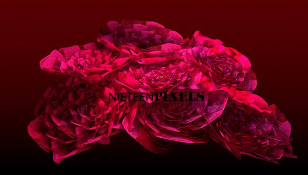 3D roses by nineteenpixels