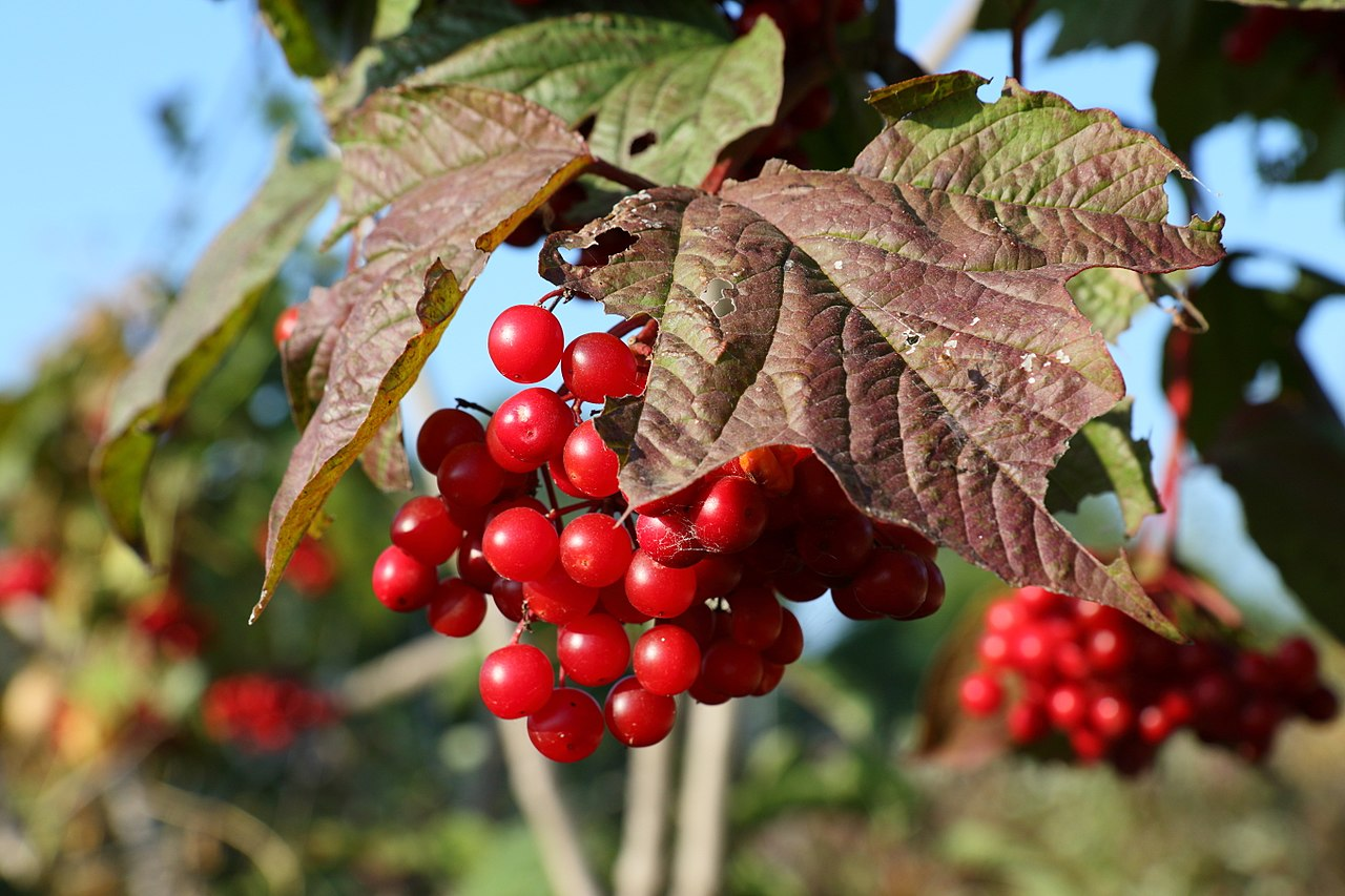 American High Bush Cranberry