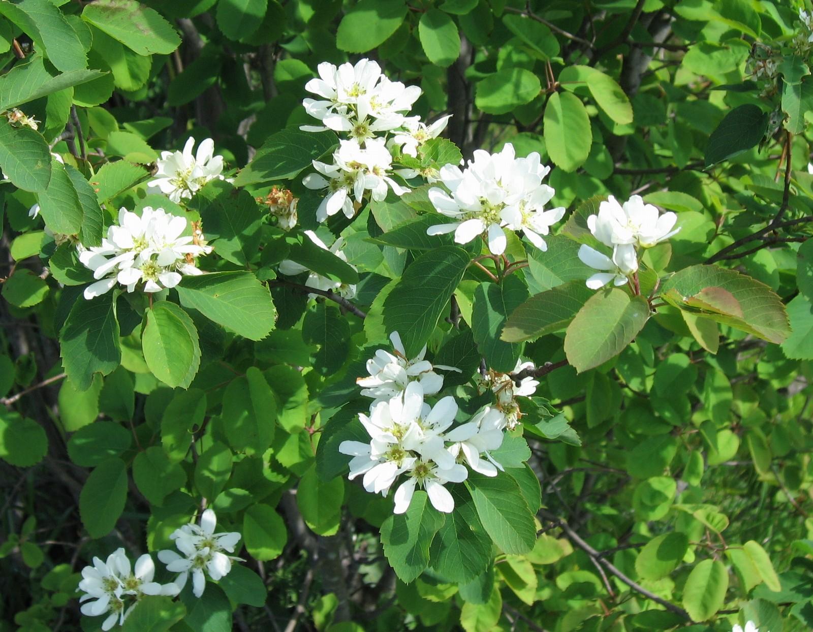 Saskatoon (Serviceberry) seedling