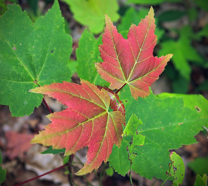 Red Maple seedling