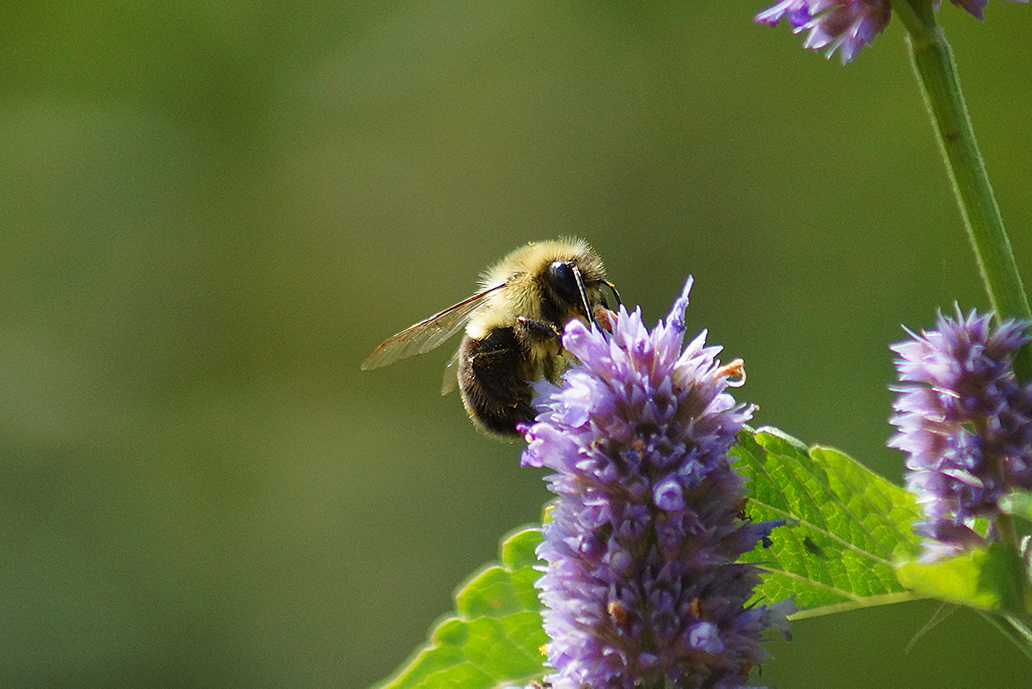 Bee on flower at the Mono Pollinator Garden