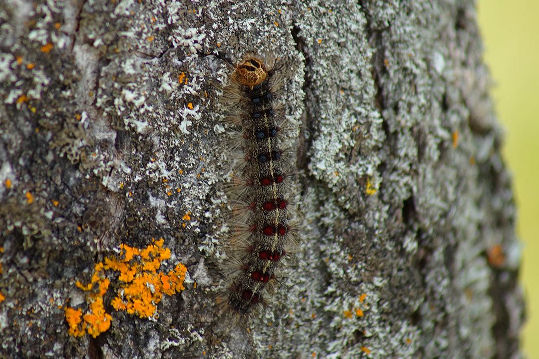 Gypsy moth caterpillar on a tree
