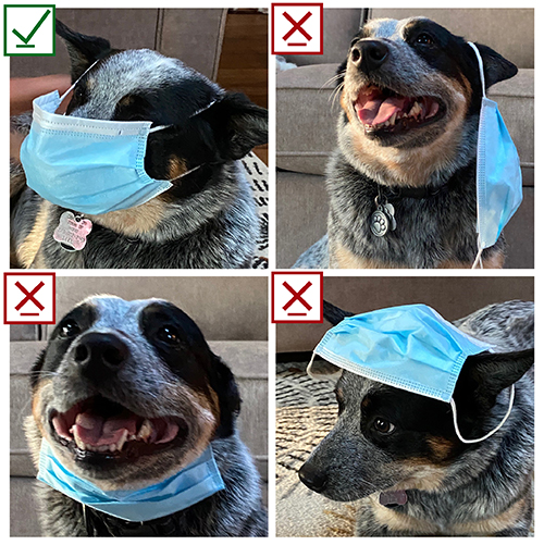 Dog showing proper and improper ways to don a face mask