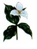 Iron Trillium Logo